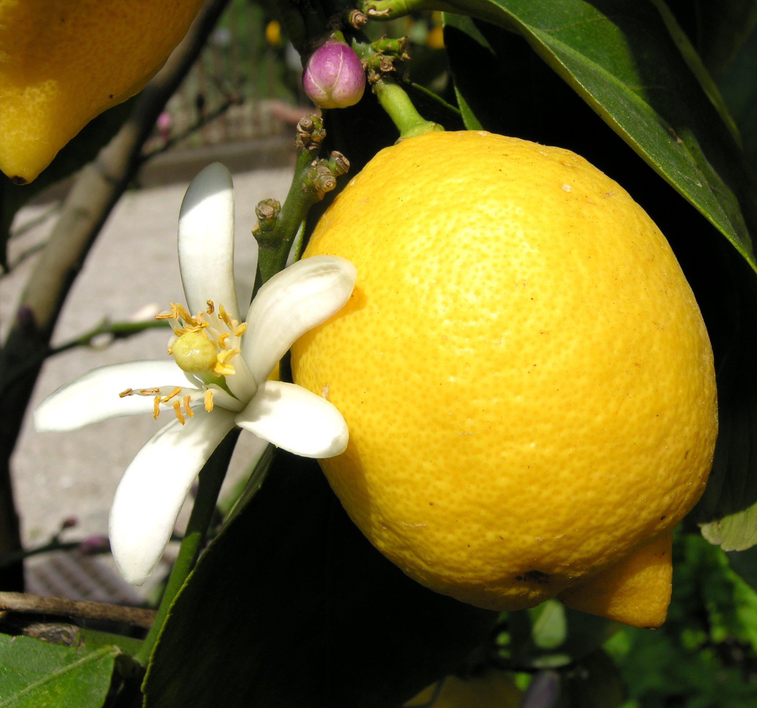 citrus limon l osbeck. Black Bedroom Furniture Sets. Home Design Ideas