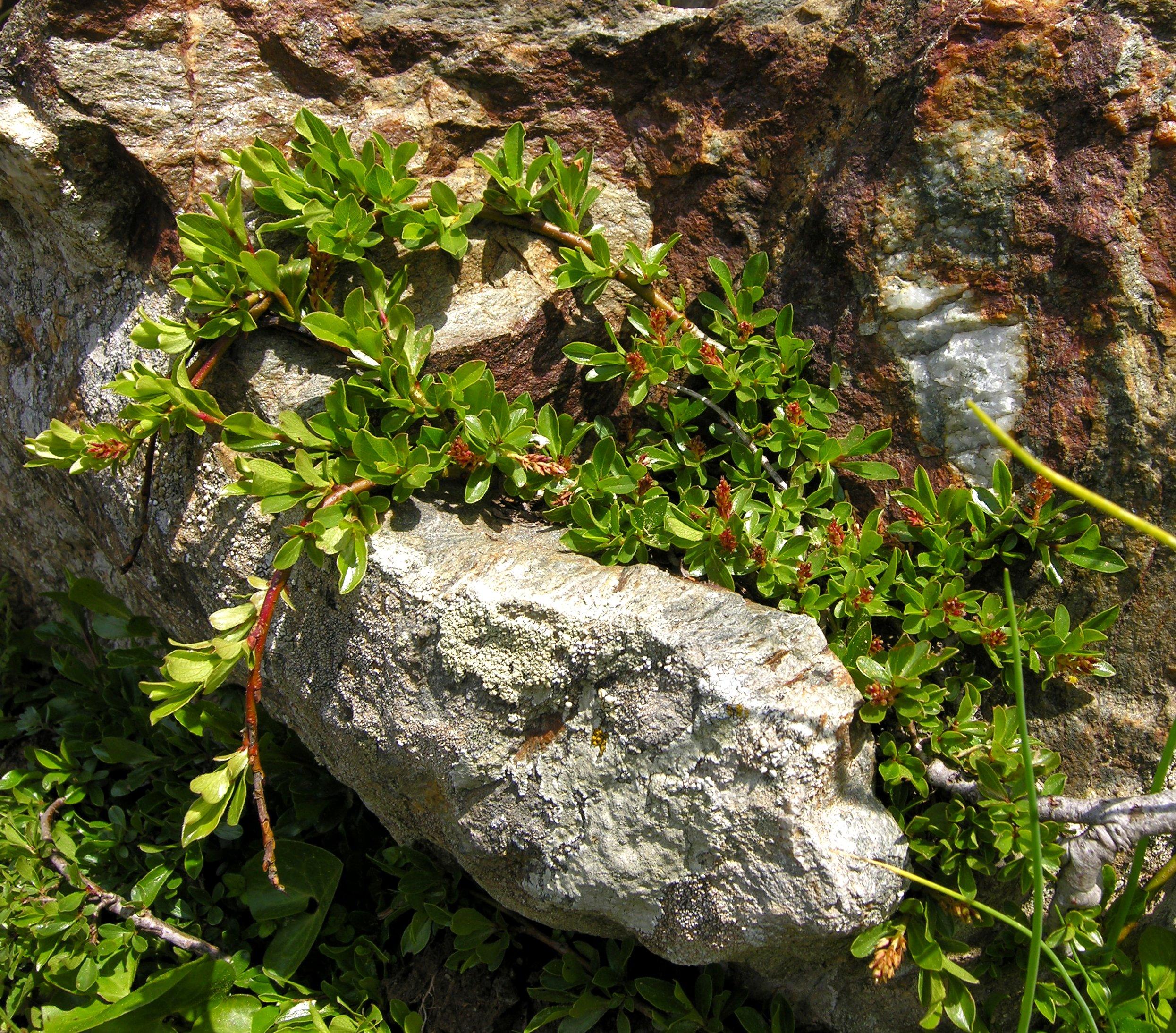 © Dipartimento di Scienze della Vita, Università degli Studi di Trieste<br>by Andrea Moro<br>Comune di Trento, Orto Botanico del Monte Bondone., TN, Trentino  Alto- Adige, Italia, 12/06/2006<br>Distributed under CC-BY-SA 4.0 license.