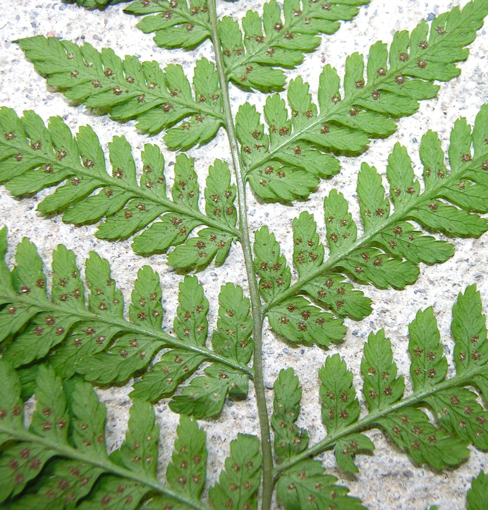 © Dipartimento di Scienze della Vita, Università degli Studi di Trieste<br>by Andrea Moro<br>Comune di Ampezzo, Passo del Pura., UD, Friuli Venezia Giulia, Italia, 26/07/2006<br>Distributed under CC-BY-SA 4.0 license.