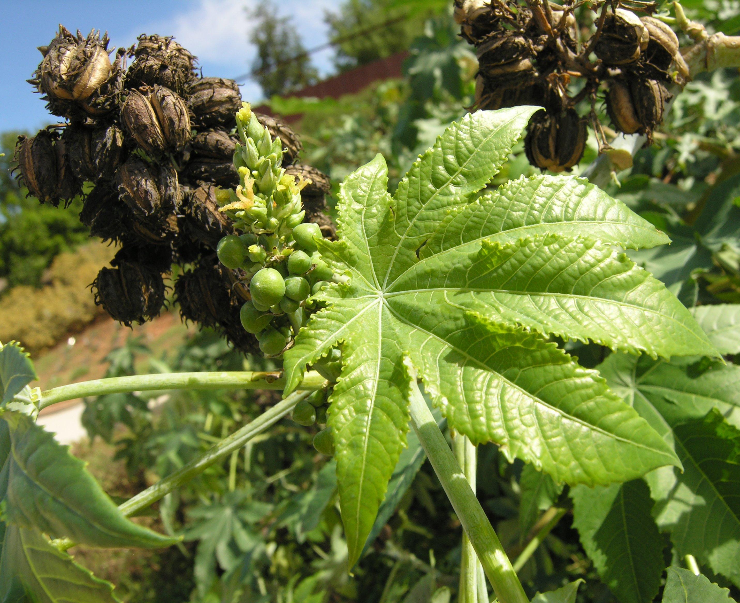 Масличные культуры и растения: лен