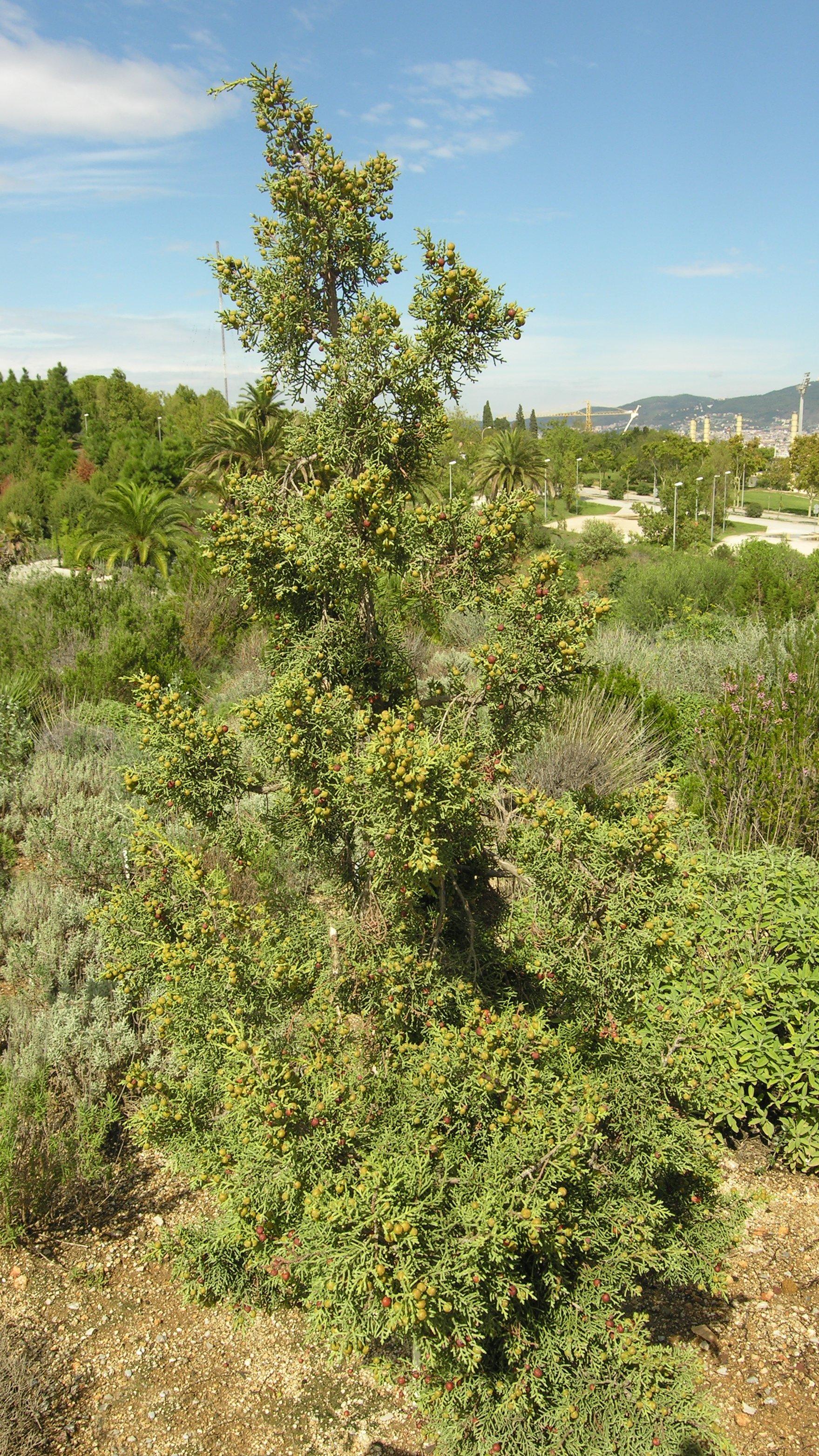 © Dipartimento di Scienze della Vita, Università degli Studi di Trieste<br>by Andrea Moro<br>Barcellona,  Orto Botanico., Catalogna, Spagna, 16/06/2004<br>Distributed under CC-BY-SA 4.0 license.