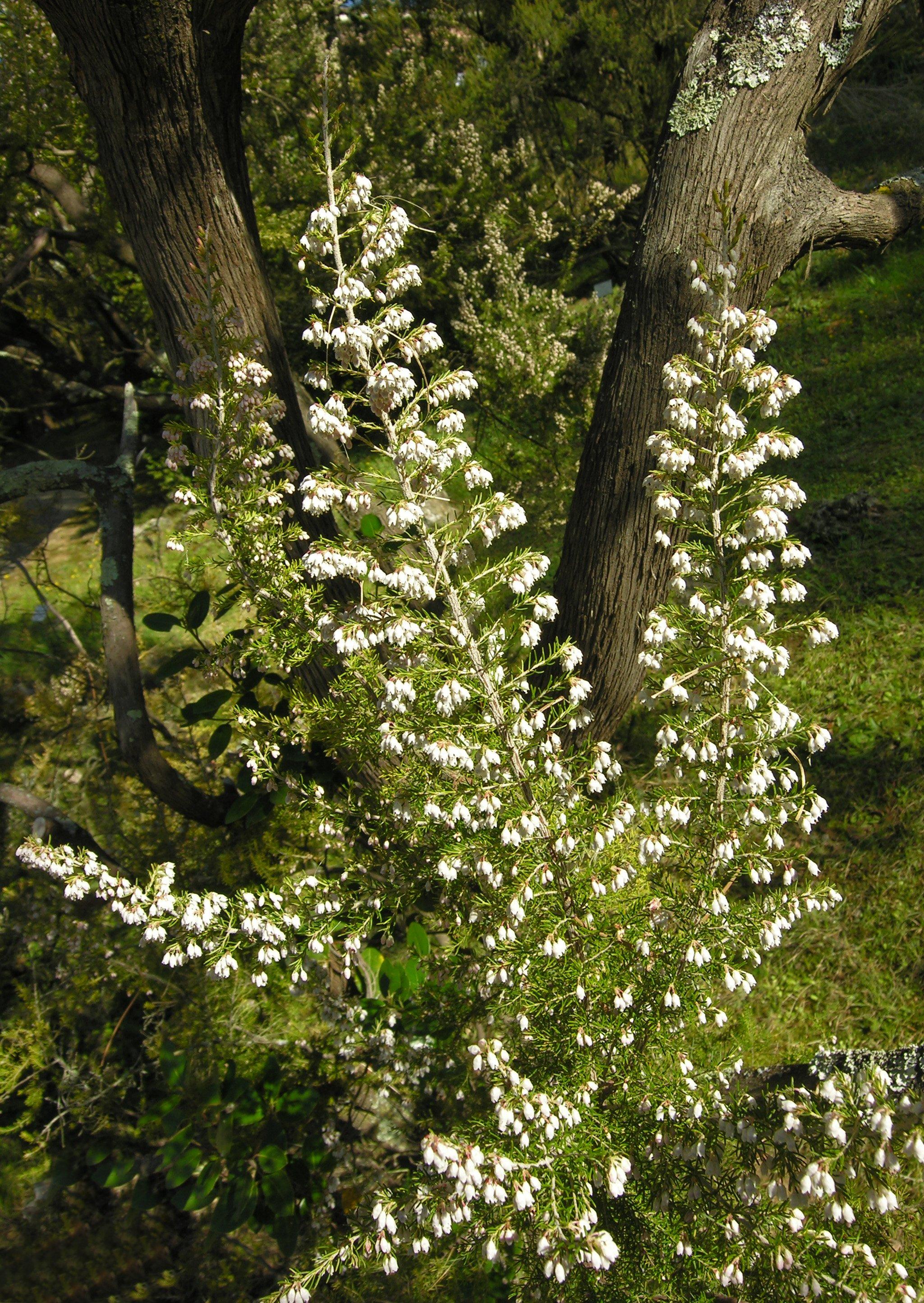 © Dipartimento di Scienze della Vita, Università degli Studi di Trieste<br>by Andrea Moro<br>Comune di Siena, Orto Botanico., SI, Toscana, Italia, 09/04/2007<br>Distributed under CC-BY-SA 4.0 license.