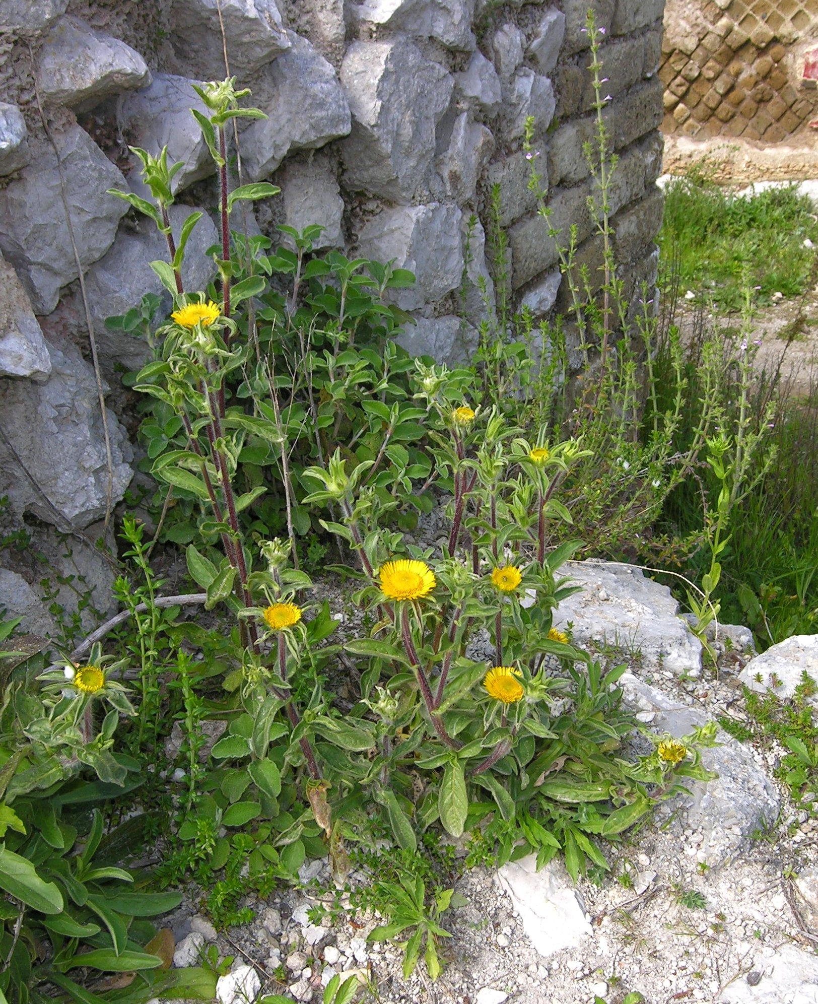 © Dipartimento di Scienze della Vita, Università degli Studi di Trieste<br>by Andrea Moro<br>Isola di Capri, centro abitato di Capri, Villa Jovis., NA, Campania, Italia, 10/04/2007<br>Distributed under CC-BY-SA 4.0 license.