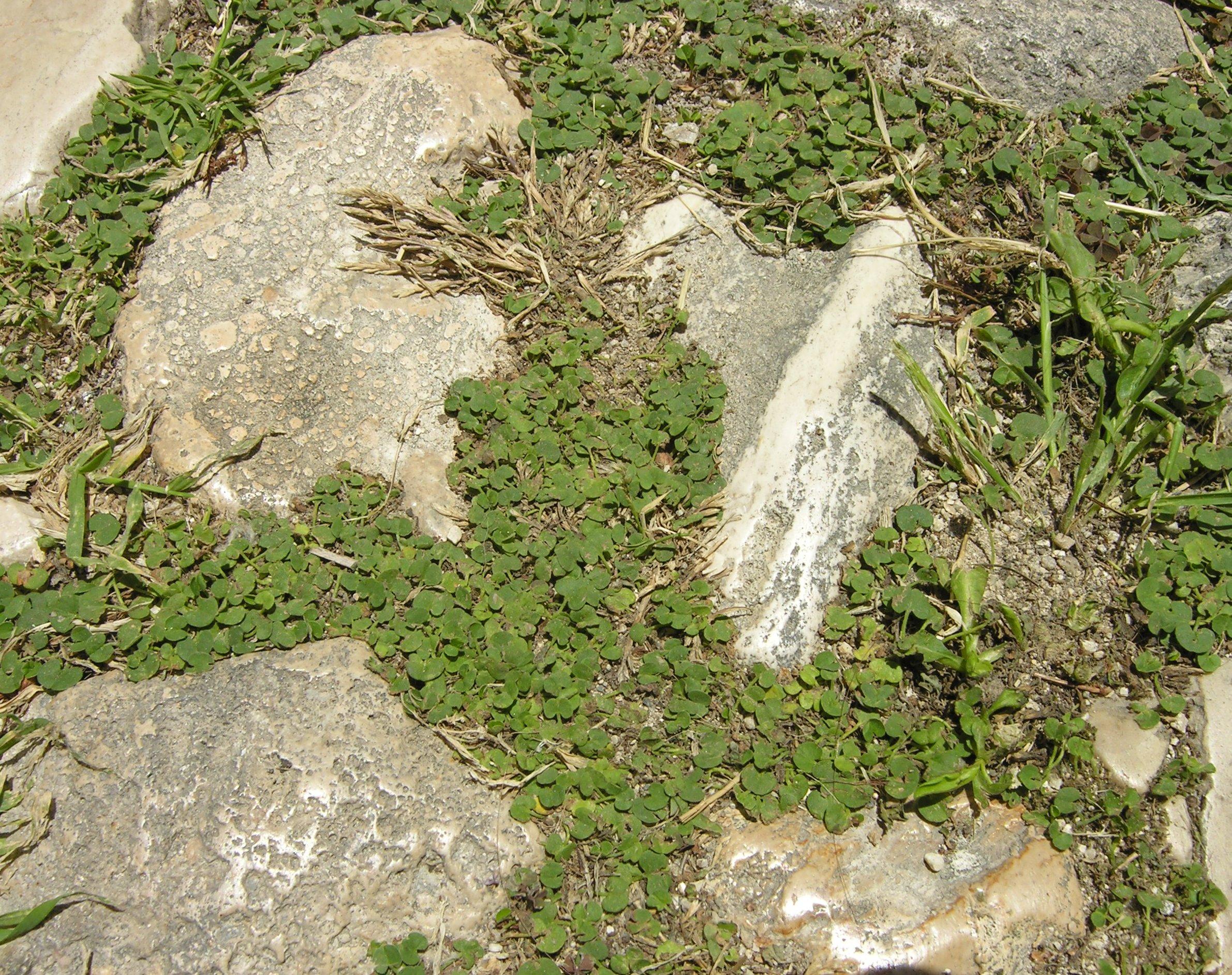 © Dipartimento di Scienze della Vita, Università degli Studi di Trieste<br>by Andrea Moro<br>Comune di Isole Tremiti, Isola di San Nicola, strada per l'ex  monastero., FG, Puglia, Italia, 12/05/2007<br>Distributed under CC-BY-SA 4.0 license.