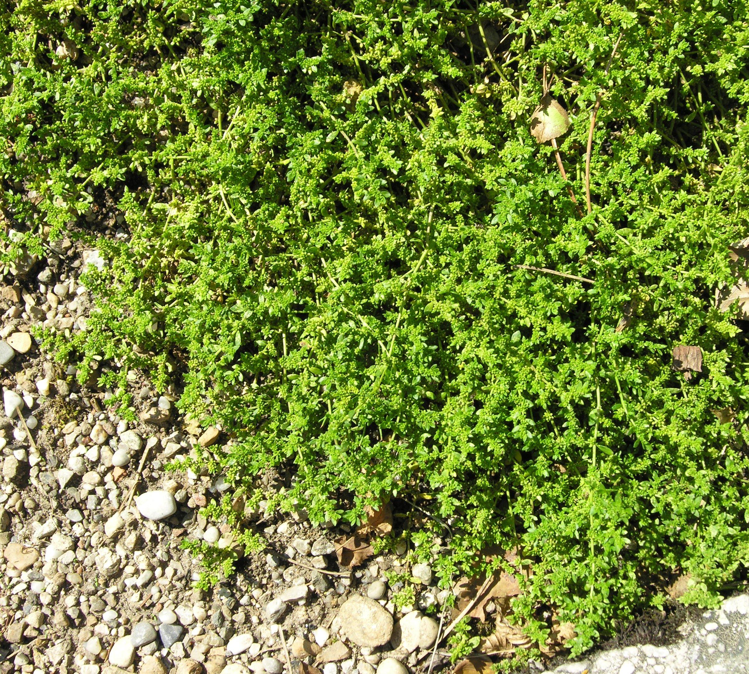 © Dipartimento di Scienze della Vita, Università degli Studi di Trieste<br>by Andrea Moro<br>Monaco di Baviera, Botanischer Garten München-Nymphenburg ., Baviera, Germania, 07/07/2007<br>Distributed under CC-BY-SA 4.0 license.