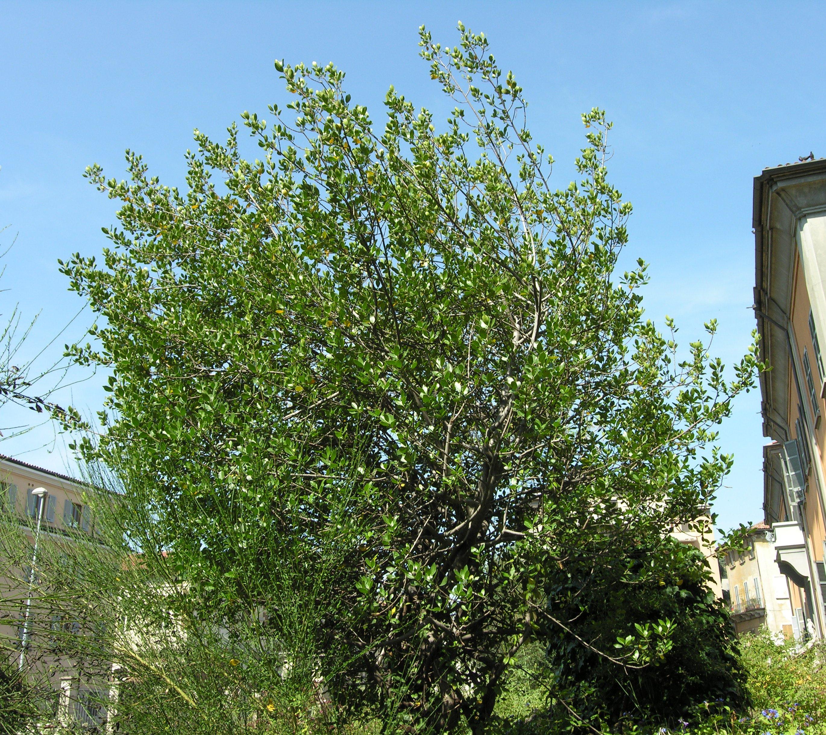 © Dipartimento di Scienze della Vita, Università degli Studi di Trieste<br>by Andrea Moro<br>Comune di Pavia, Orto Botanico dell'Università di Pavia., PV, Lombardia, Italia, 02/07/2007<br>Distributed under CC-BY-SA 4.0 license.