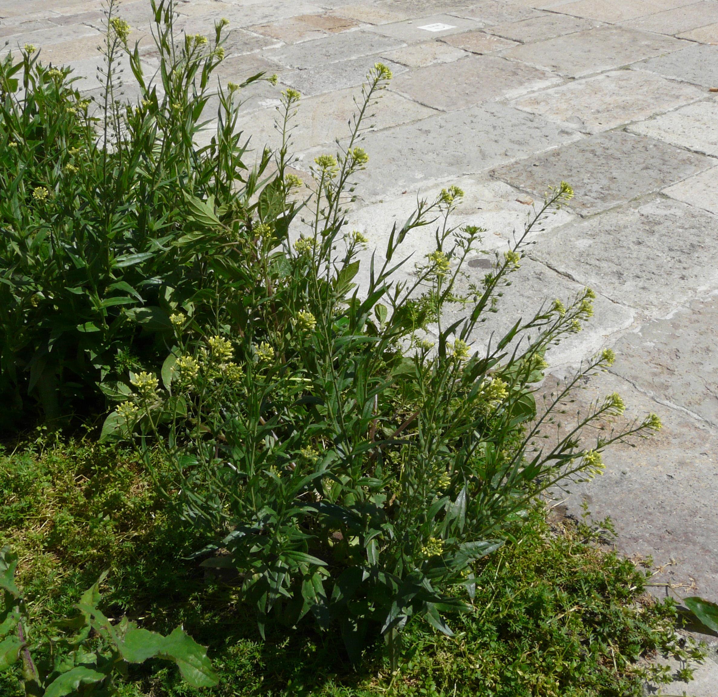 © Dipartimento di Scienze della Vita, Università degli Studi di Trieste<br>by Andrea Moro<br>Comune di Venezia, campo San Lorenzo., VE, Veneto, Italia, 27/04/2008<br>Distributed under CC-BY-SA 4.0 license.
