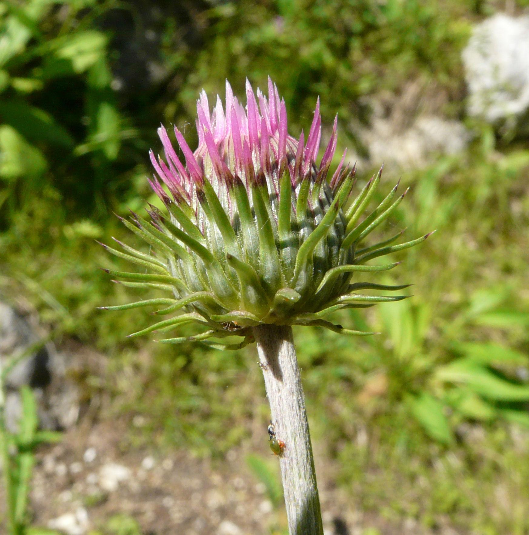 © Dipartimento di Scienze della Vita, Università degli Studi di Trieste<br>by Andrea Moro<br>Val Trenta, Orto Botanico Alpino , Slovenia, 20/06/2008<br>Distributed under CC-BY-SA 4.0 license.