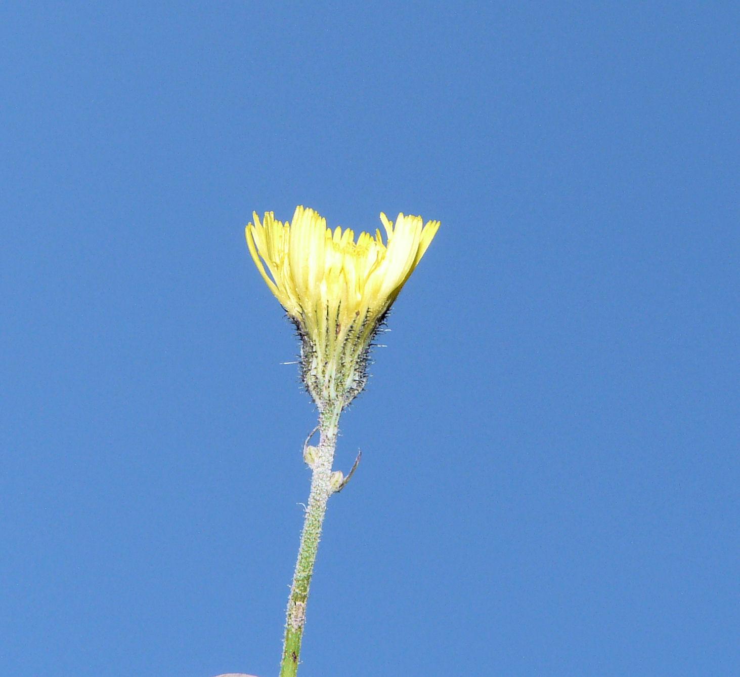 © Dipartimento di Scienze della Vita, Università degli Studi di Trieste<br>by Andrea Moro<br>Val Trenta, Orto Botanico Alpino Juliana., Slovenia, 20/06/2008<br>Distributed under CC-BY-SA 4.0 license.