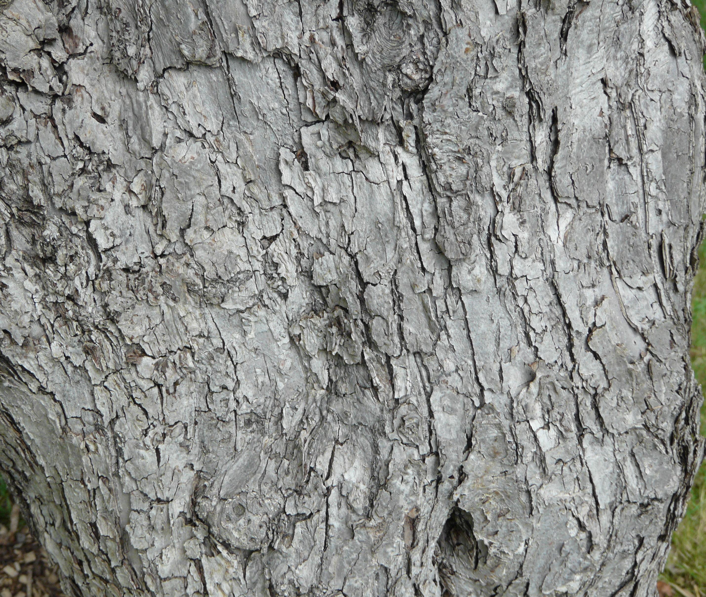© Dipartimento di Scienze della Vita, Università degli Studi di Trieste<br>by Andrea Moro<br>Parigi, Arboretum del Jardin Botanique de la Ville de Paris, Ecole Du Breuil., Francia, 10/08/2008<br>Distributed under CC-BY-SA 4.0 license.