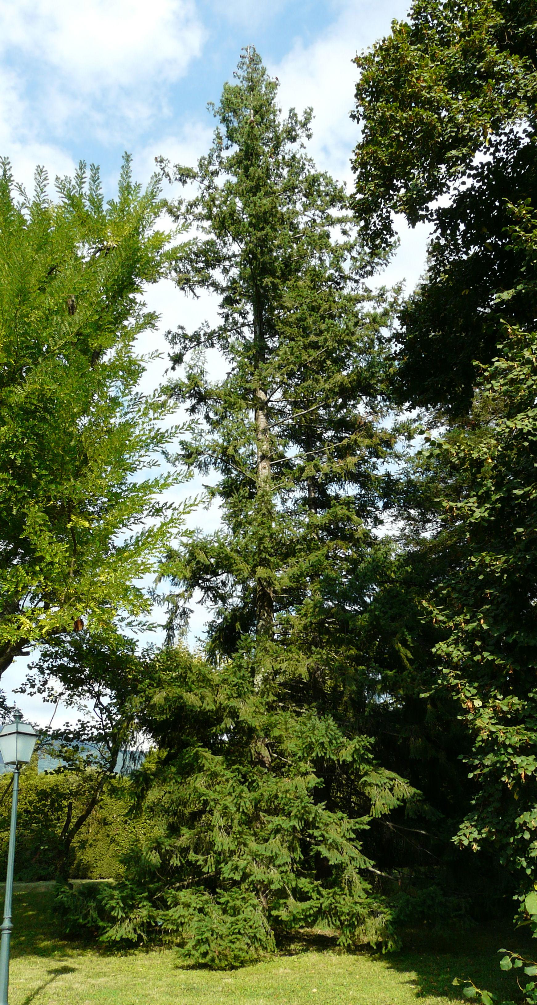 © Dipartimento di Scienze della Vita, Università degli Studi di Trieste<br>by Andrea Moro<br>Comune di Capannori, località Marlia, Giardino della Villa Grabau., LU, Toscana, Italia, 18/09/2008<br>Distributed under CC-BY-SA 4.0 license.