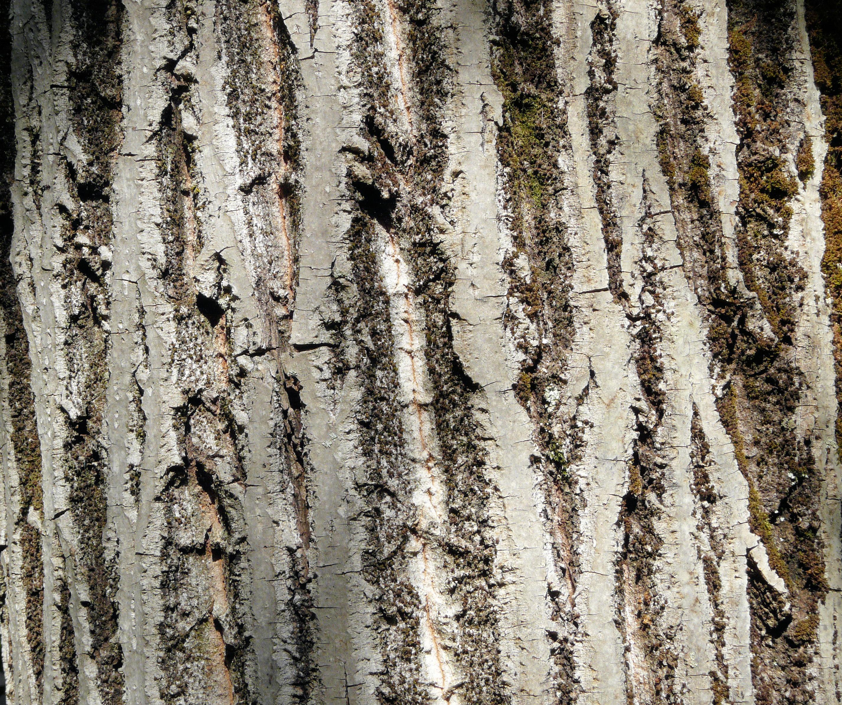 © Dipartimento di Scienze della Vita, Università degli Studi di Trieste<br>by Andrea Moro<br>Città di Lucca, Orto Botanico Comunale., LU, Toscana, Italia, 18/09/2008<br>Distributed under CC-BY-SA 4.0 license.