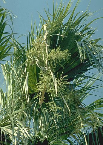 © Hortus Botanicus Catinensis<br>by Pietro Pavone<br>