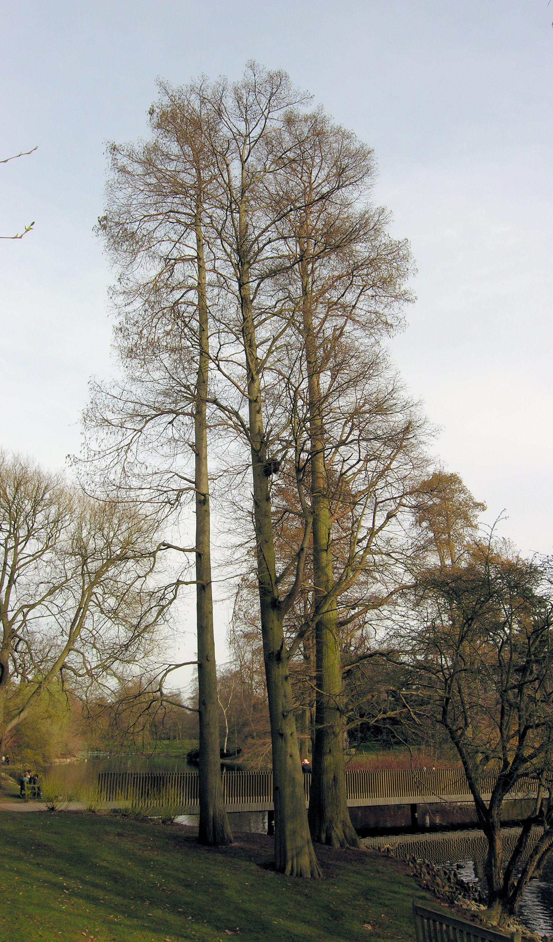© Dipartimento di Scienze della Vita, Università degli Studi di Trieste<br>by Andrea Moro<br>Richmond-upon-Thames, Royal Botanic Gardens, Kew, United Kingdom, 15/03/2009<br>Distributed under CC-BY-SA 4.0 license.