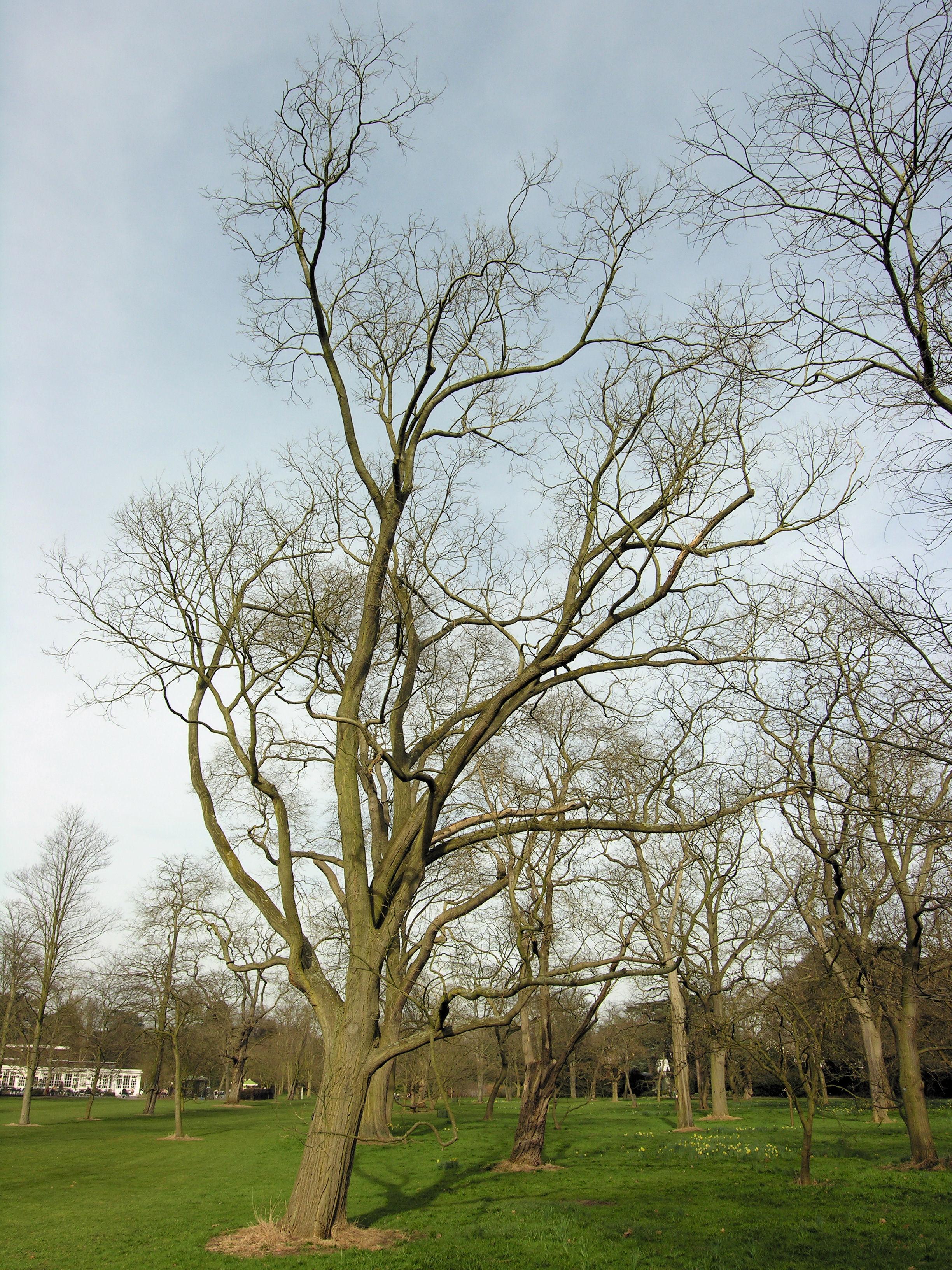 © Dipartimento di Scienze della Vita, Università degli Studi di Trieste<br>by Andrea Moro<br>Richmond-upon-Thames, Royal Botanic Gardens, Kew, UK, 16/03/2009<br>Distributed under CC-BY-SA 4.0 license.