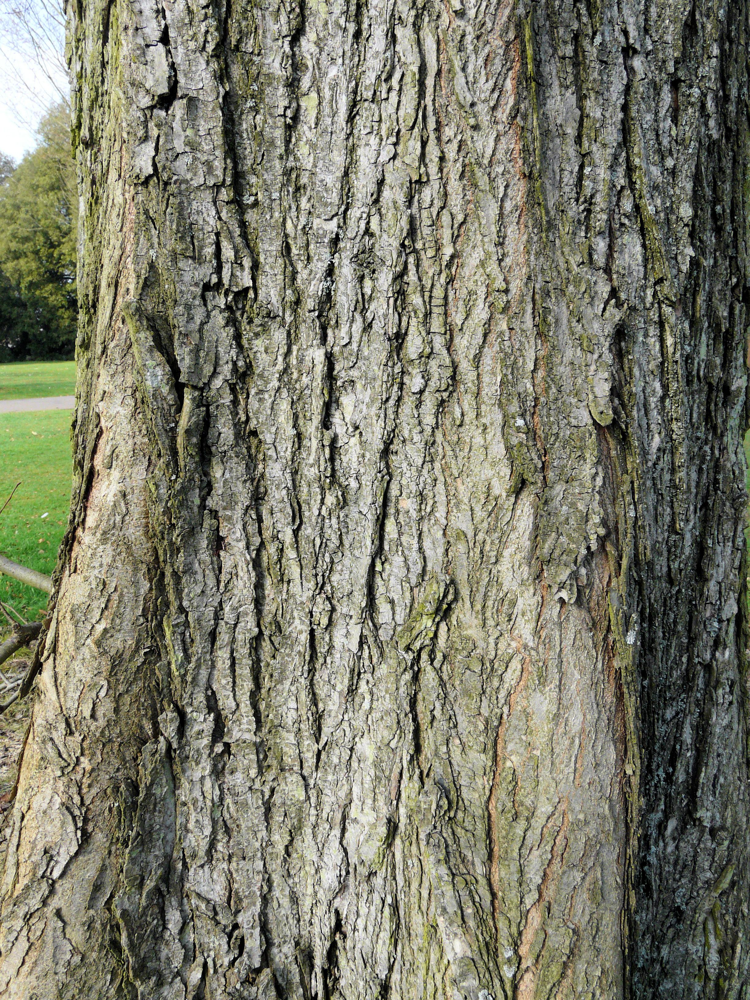 © Dipartimento di Scienze della Vita, Università degli Studi di Trieste<br>by Andrea Moro<br>Richmond-upon-Thames, Royal Botanic Gardens, Kew, UK, 17/03/2009<br>Distributed under CC-BY-SA 4.0 license.