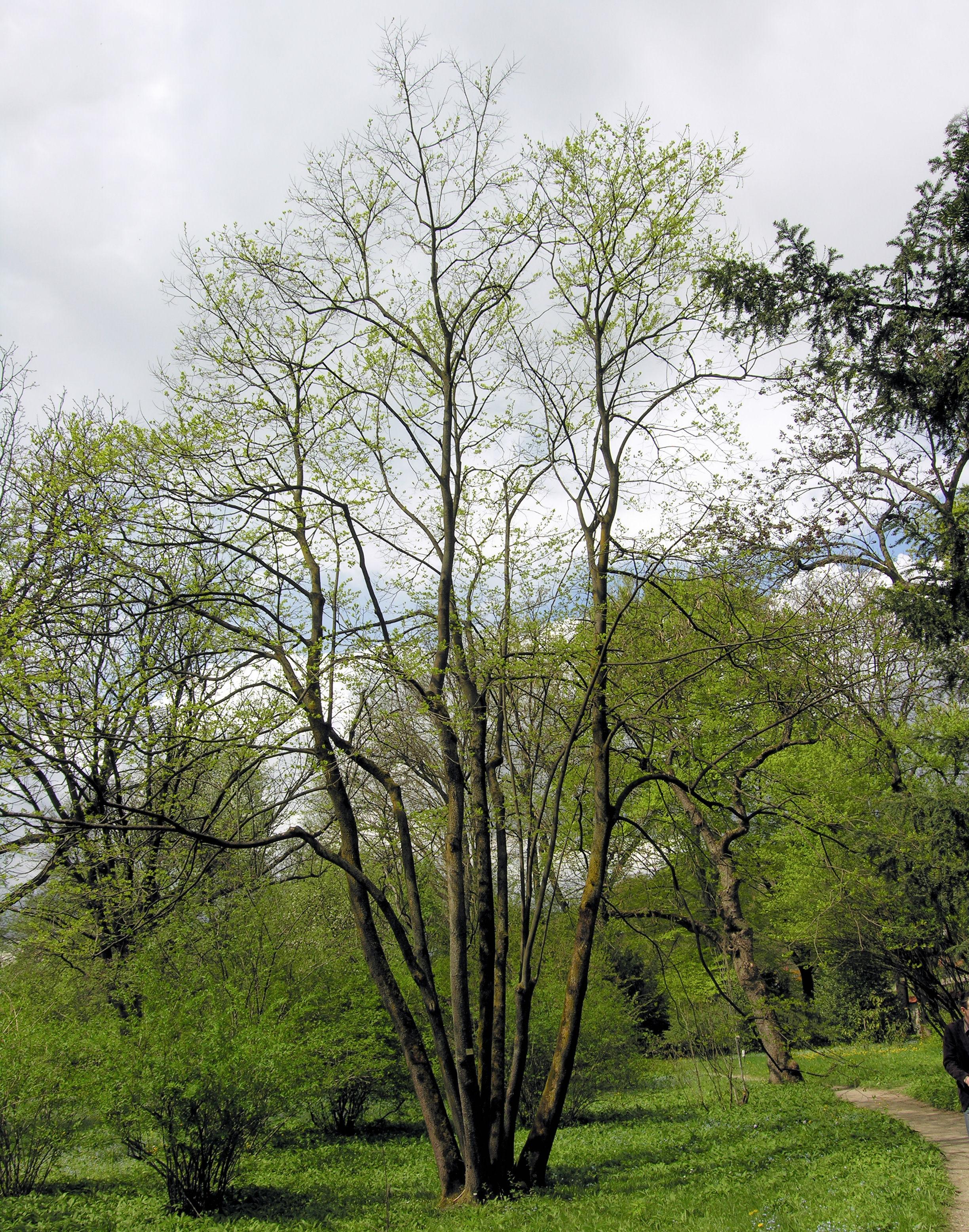 © Dipartimento di Scienze della Vita, Università degli Studi di Trieste<br>by Andrea Moro<br>Ljubljana Botanical Gardens, Slovenia, 18/04/2009<br>Distributed under CC-BY-SA 4.0 license.