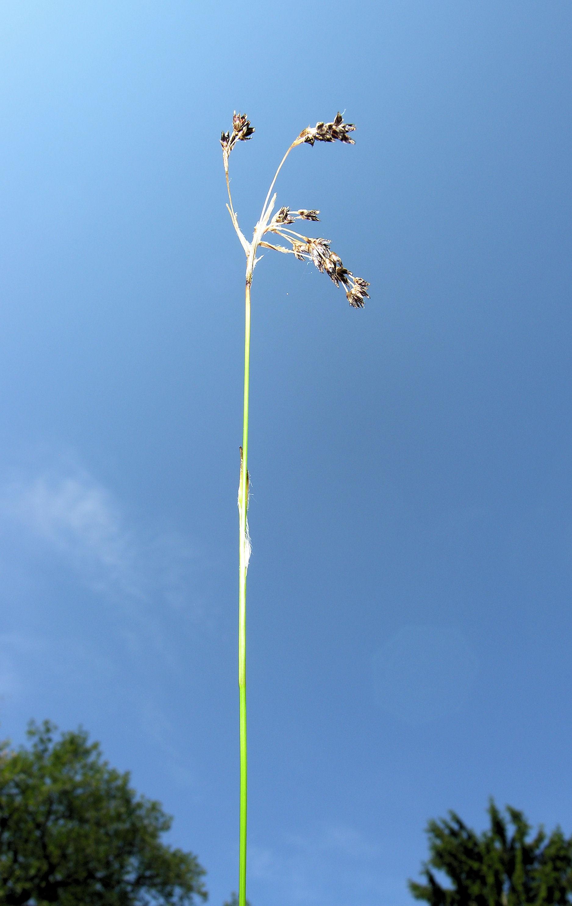 © Dipartimento di Scienze della Vita, Università degli Studi di Trieste<br>by Andrea Moro<br>Conservatoire et jardin botaniques de la Ville de Genève, Svizzera, 06.06.2009<br>Distributed under CC-BY-SA 4.0 license.