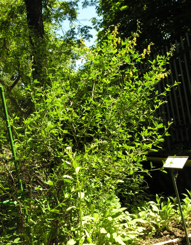 © Dipartimento di Scienze della Vita, Università degli Studi di Trieste<br>by Andrea Moro<br>Comune di Camerino, Orto Botanico dell'Università di Camerino , MC, Marche, Italia, 02/06/2009<br>Distributed under CC-BY-SA 4.0 license.