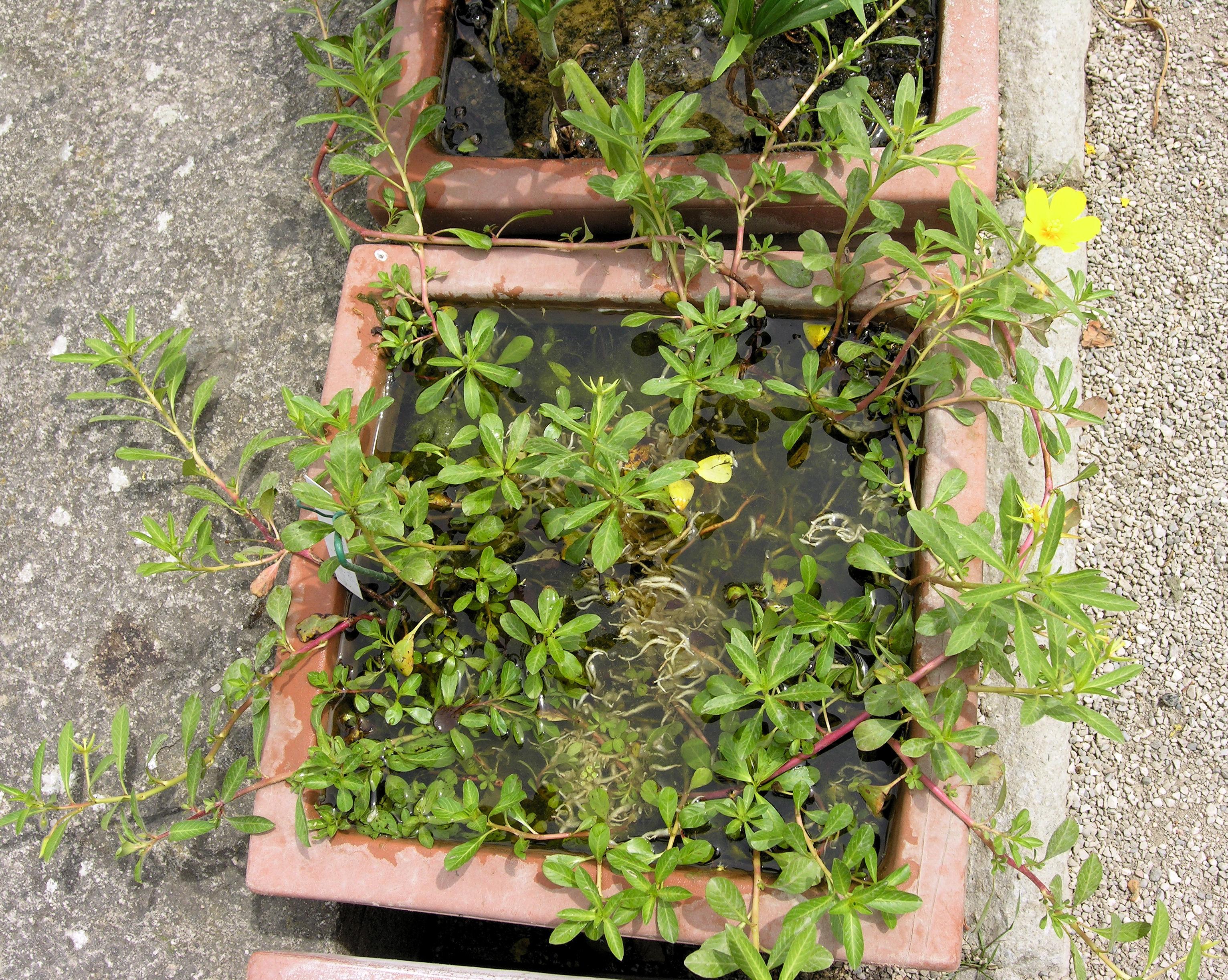 © Dipartimento di Scienze della Vita, Università degli Studi di Trieste<br>by Andrea Moro<br>Comune di Padova, Orto Botanico, PD, Veneto, Italia, 04/06/2009<br>Distributed under CC-BY-SA 4.0 license.