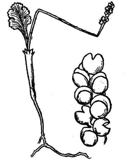 © Hippolyte Coste - Flore descriptive et illustrée de la France, de la Corse et des contrées limitrophes, 1901-1906<br>