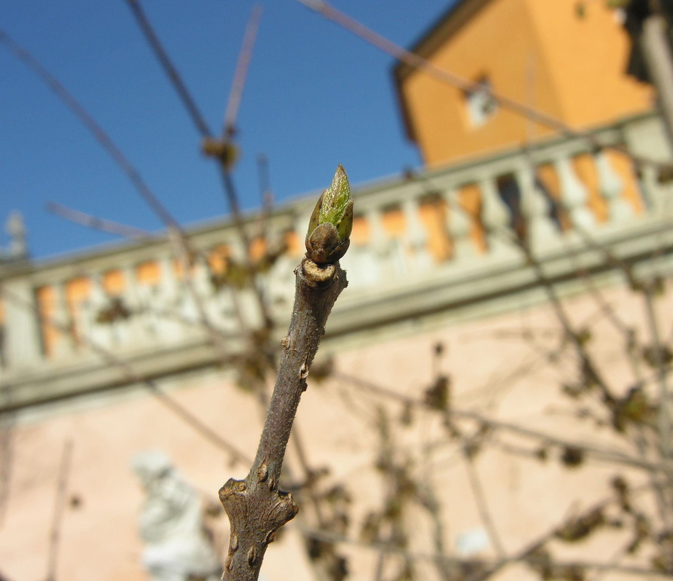 © Dipartimento di Scienze della Vita, Università degli Studi di Trieste<br>by Andrea Moro<br>Comune di Padova, Orto Botanico, PD, Veneto, Italia, 08/03/2010<br>Distributed under CC-BY-SA 4.0 license.