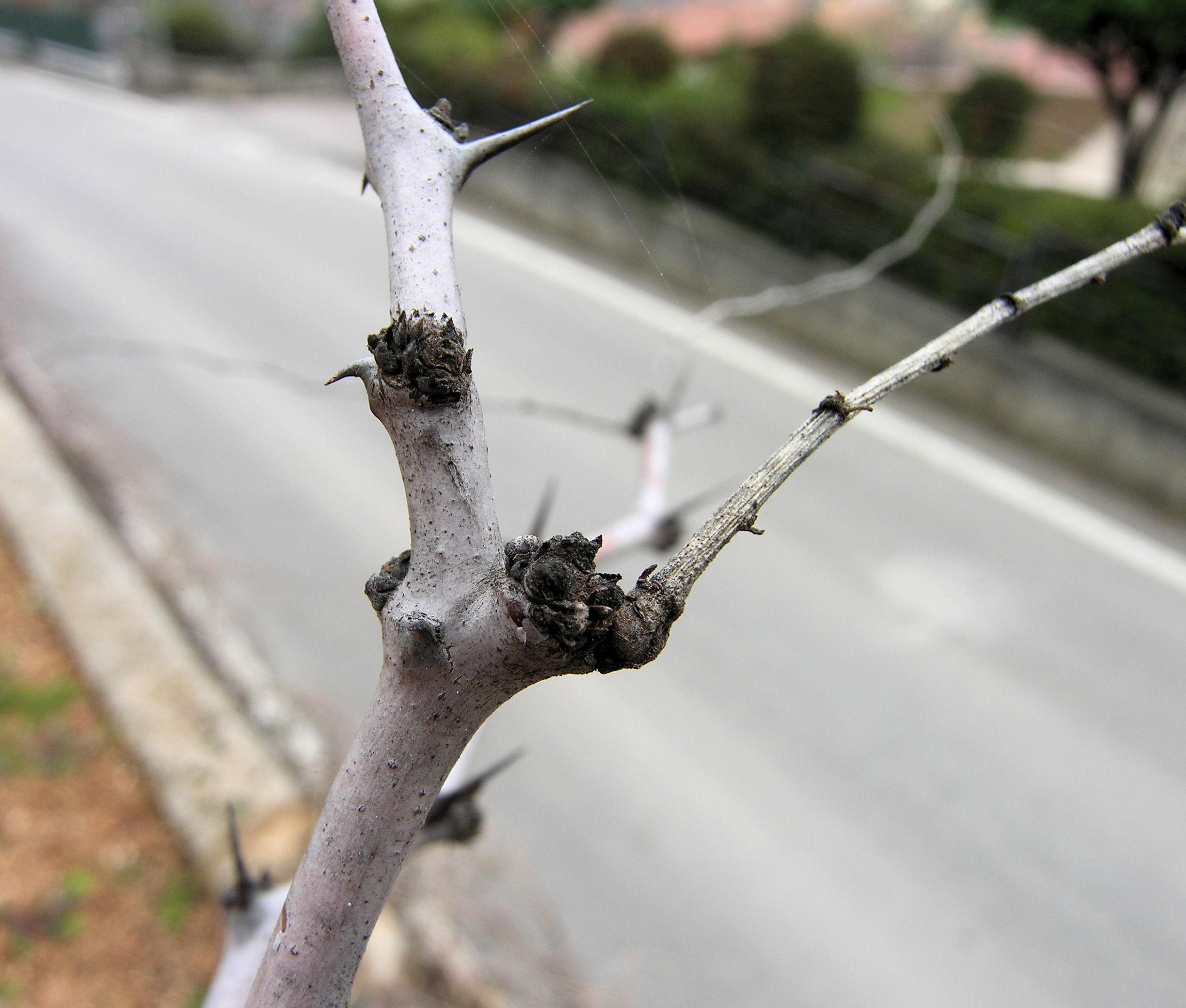 © Dipartimento di Scienze della Vita, Università degli Studi di Trieste<br>by Andrea Moro<br>Comune di Serle, BS, Lombardia, Italia, 28/03/2010<br>Distributed under CC-BY-SA 4.0 license.