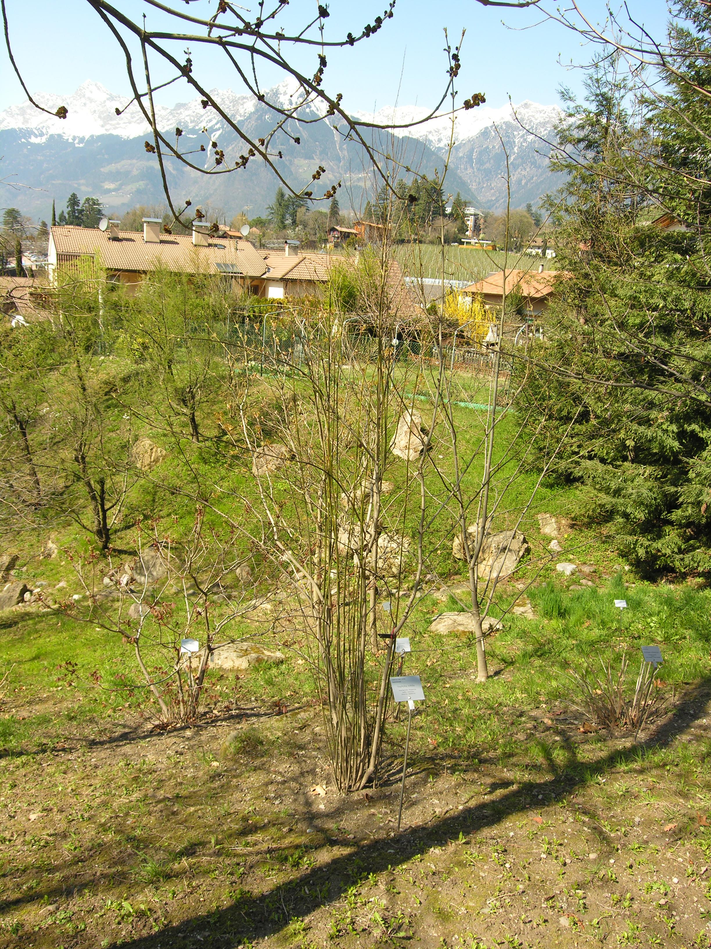 © Dipartimento di Scienze della Vita, Università degli Studi di Trieste<br>by Andrea Moro<br>Comune di Merano, Giardini di Castel Trauttmansdorff, BZ, Trentino-Alto Adige, Italia, 09/04/2010<br>Distributed under CC-BY-SA 4.0 license.