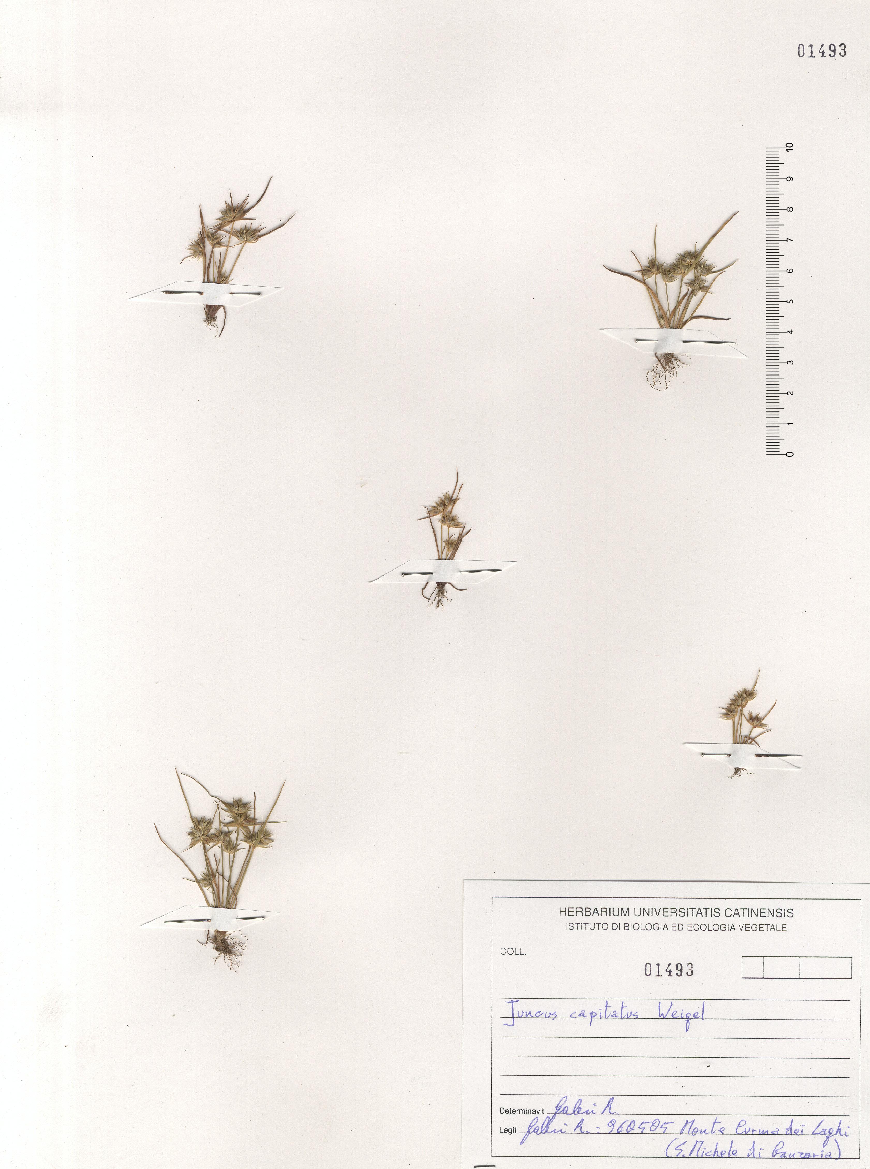 © Hortus Botanicus Catinensis - Herb. sheet 101493<br>