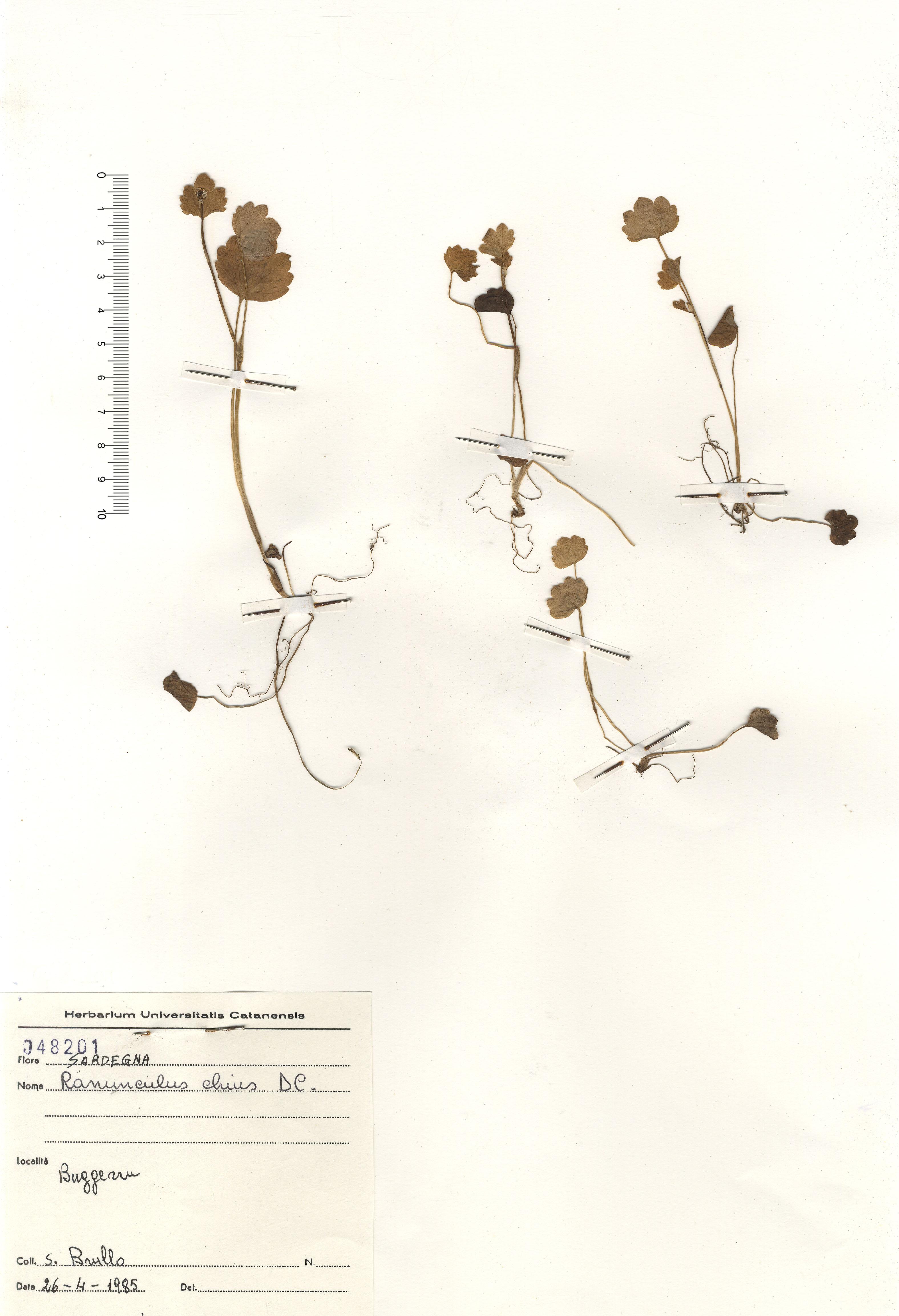 © Hortus Botanicus Catinensis - Herb. sheet 48201<br>
