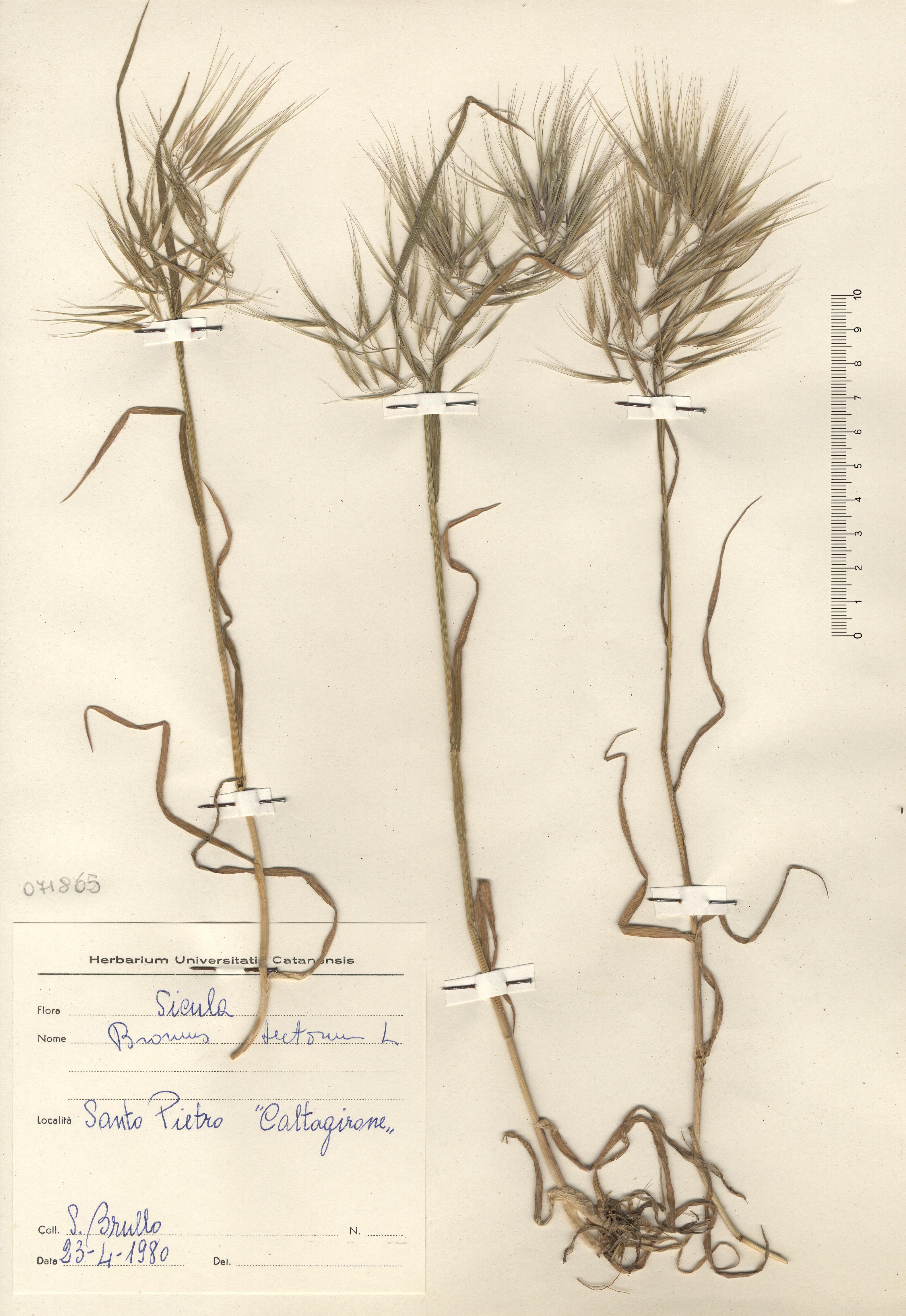 © Hortus Botanicus Catinensis - Herb. sheet 71865<br>