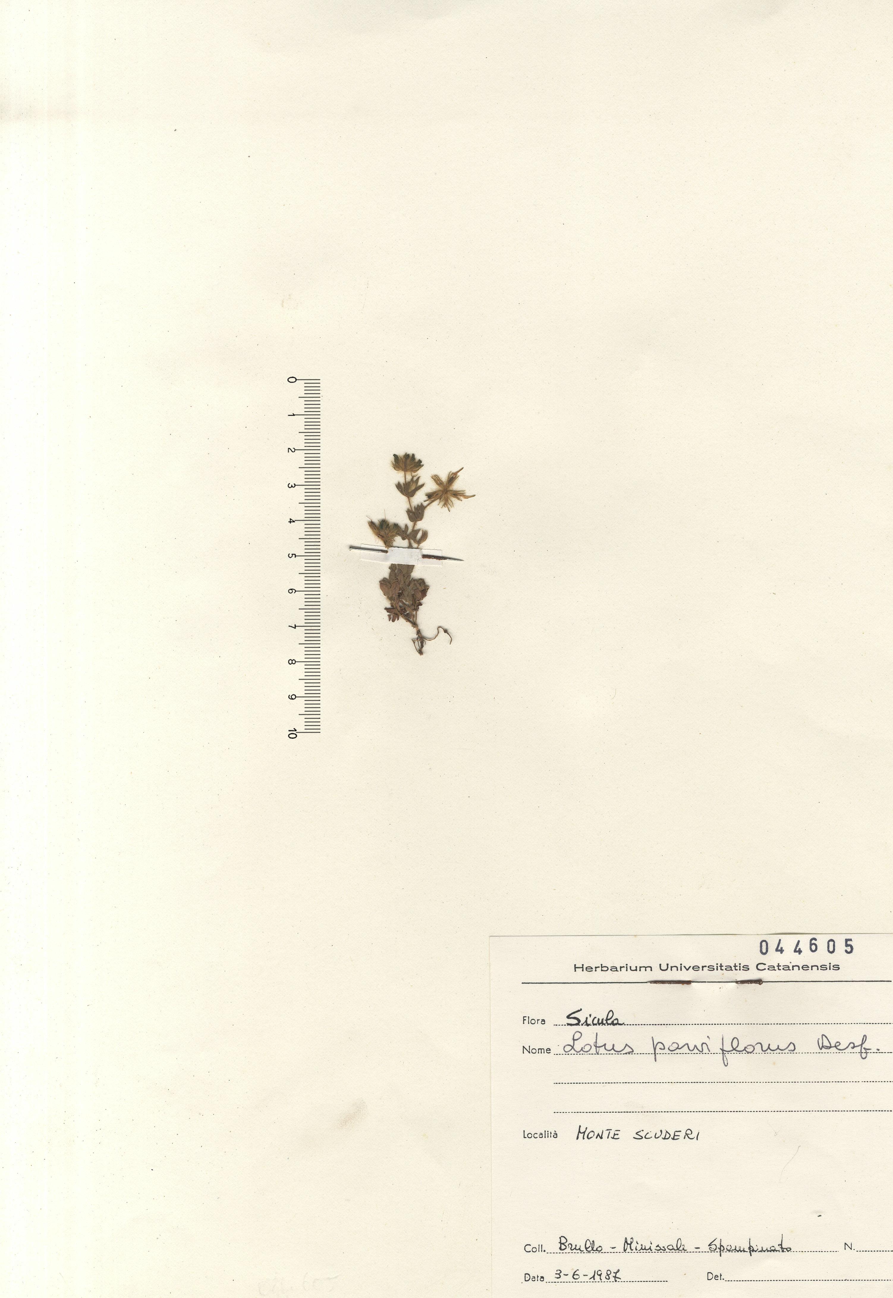 © Hortus Botanicus Catinensis - Herb. Sheet 044605<br>