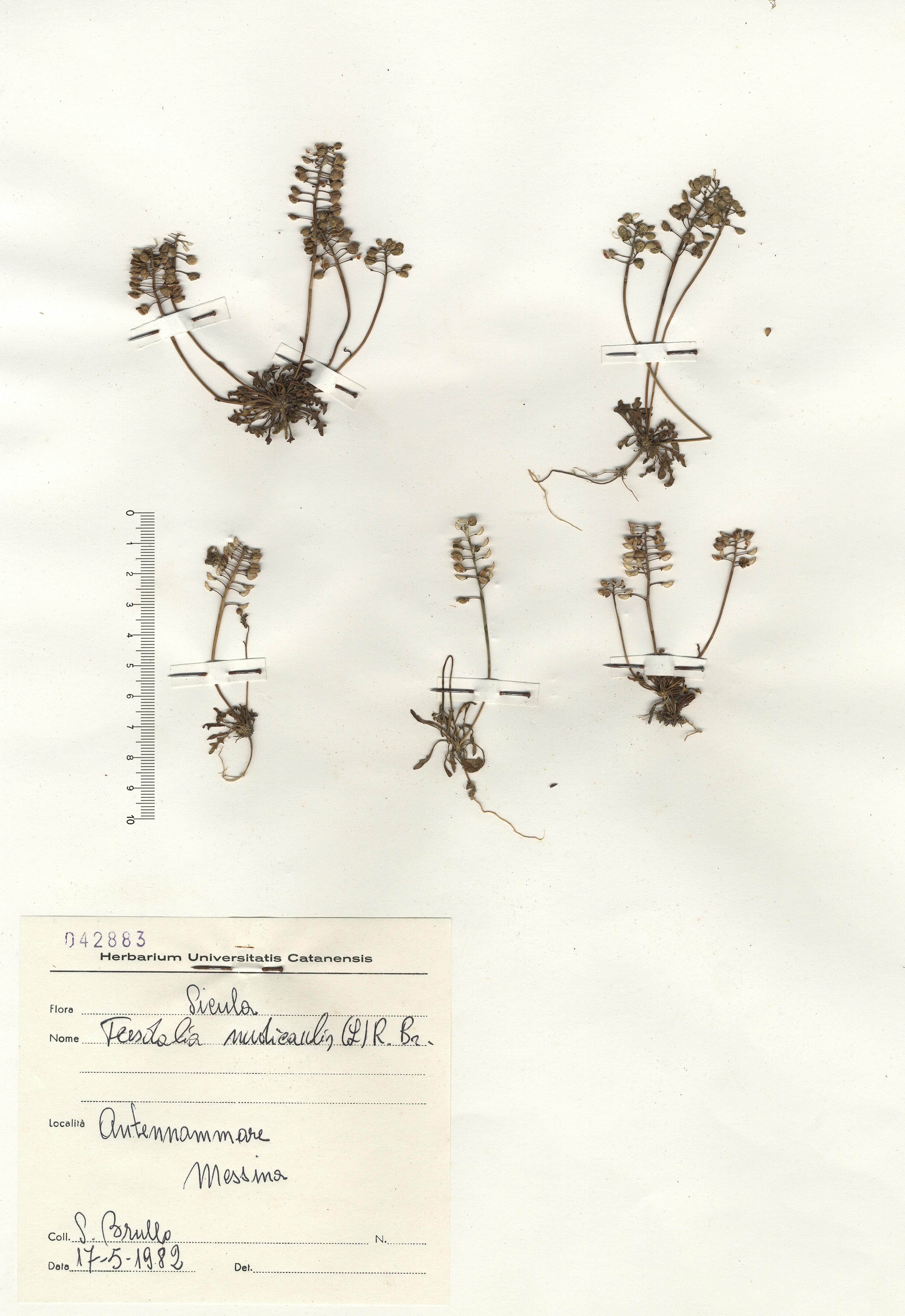 © Hortus Botanicus Catinensis - Herb. Sheet 42883<br>