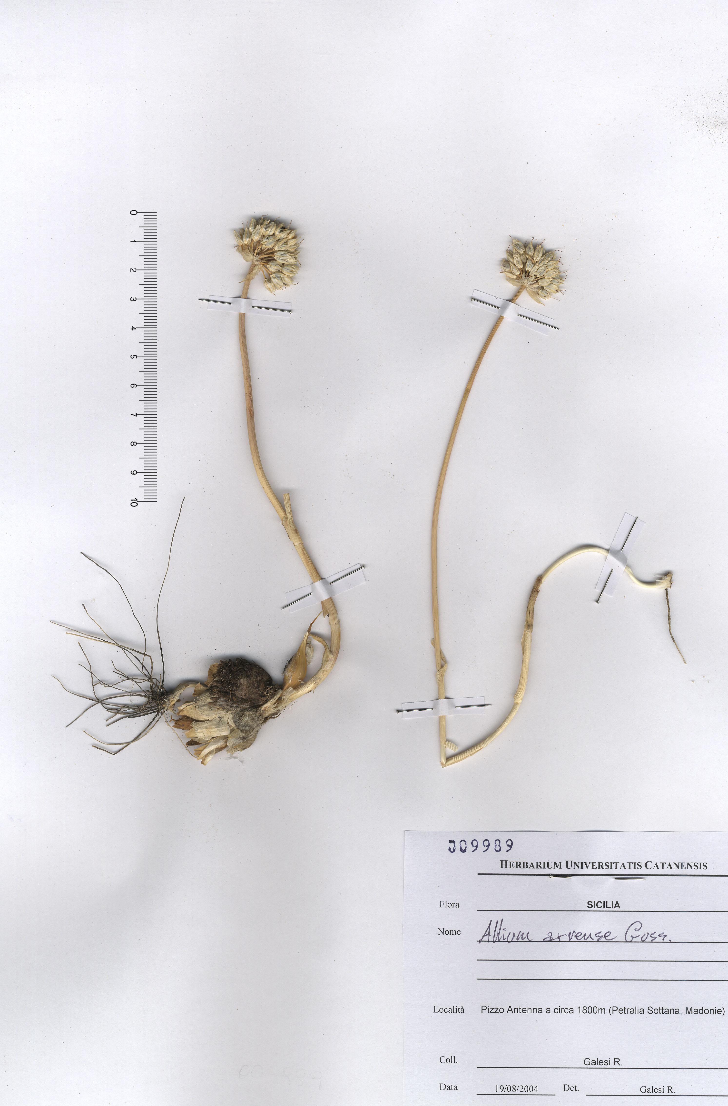 © Hortus Botanicus Catinensis - Herb. Sheet 009989<br>