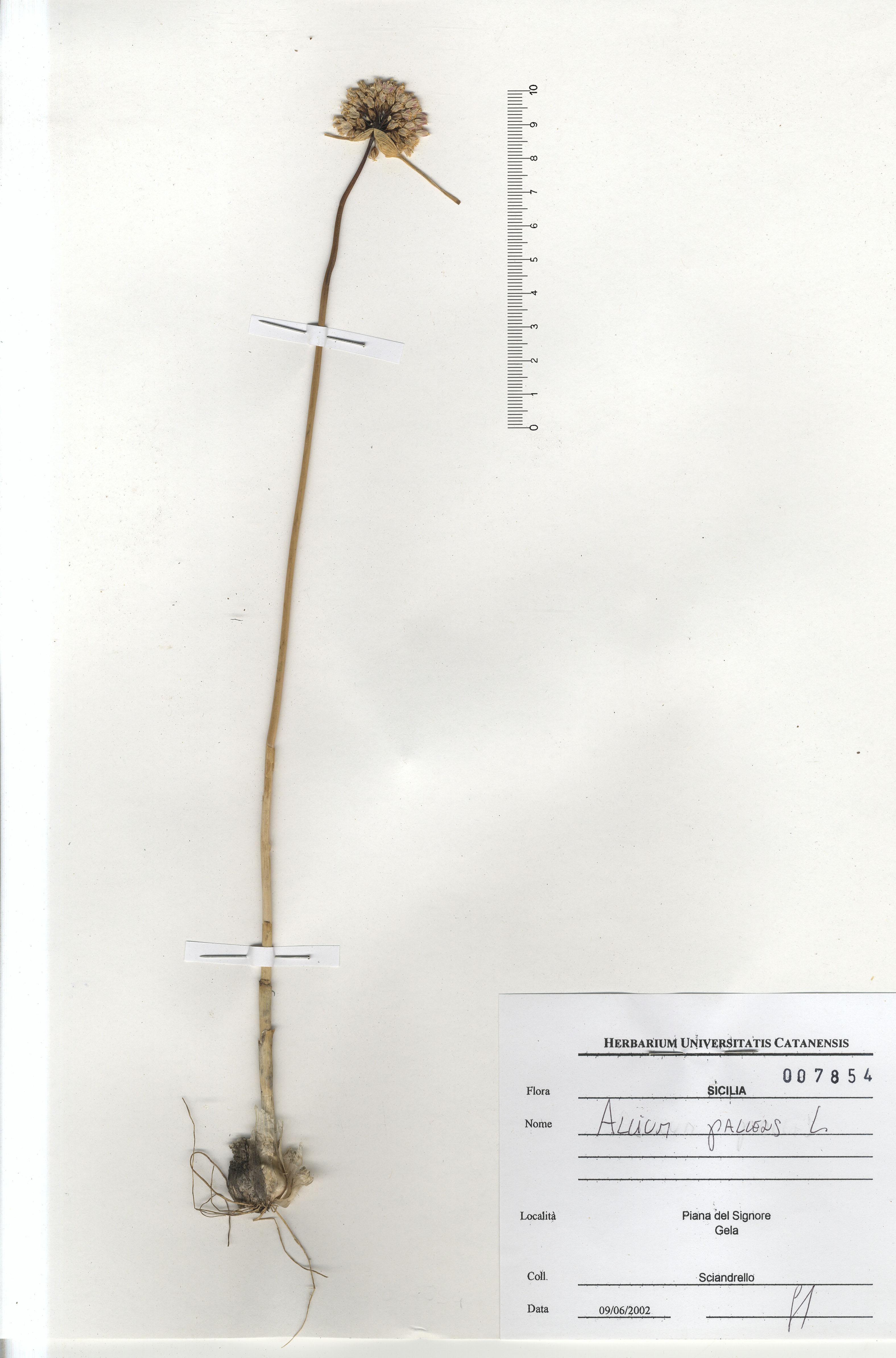 © Hortus Botanicus Catinensis - Herb. Sheet 007854<br>