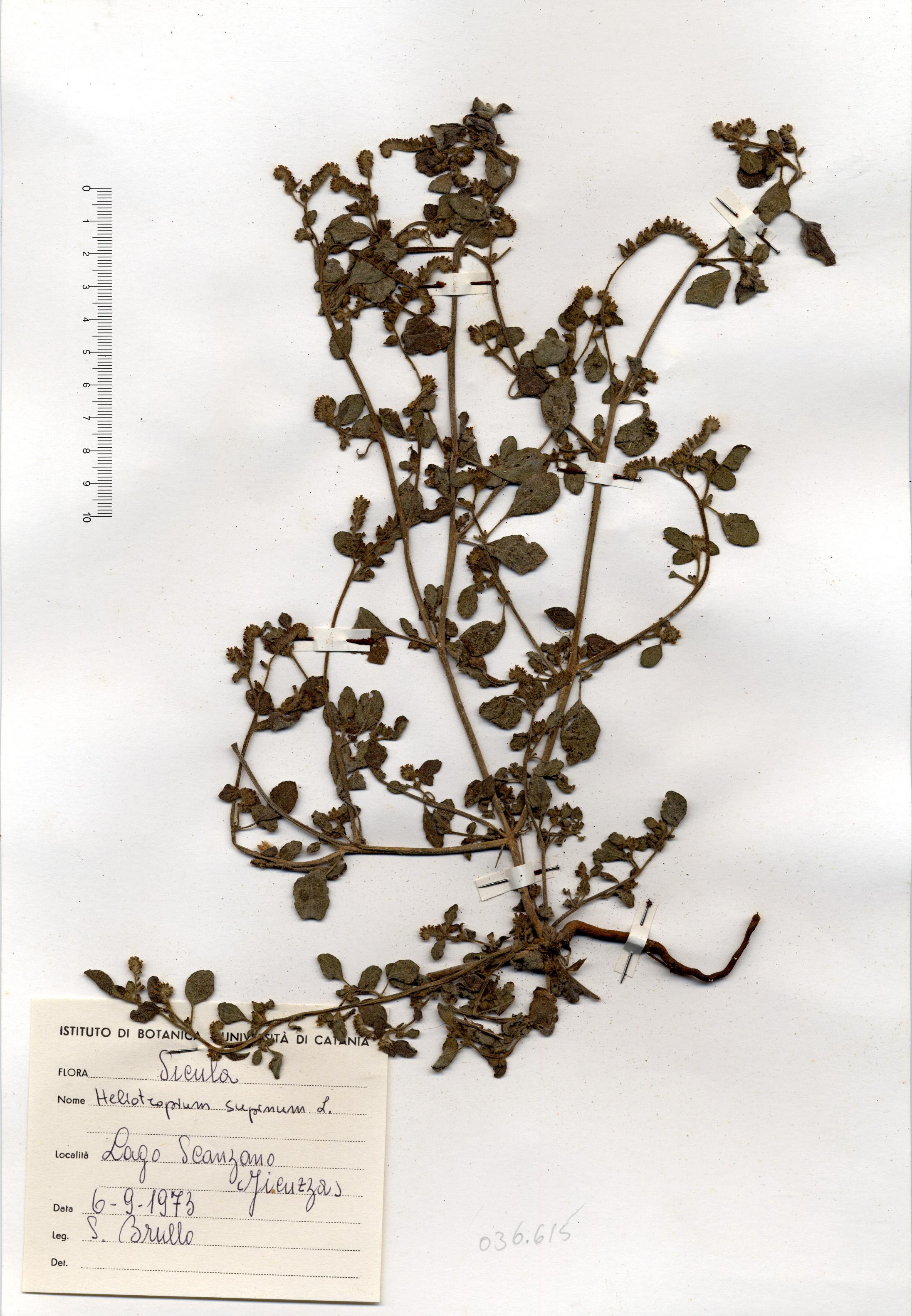 © Hortus Botanicus Catinensis - Herb. Sheet 036615<br>