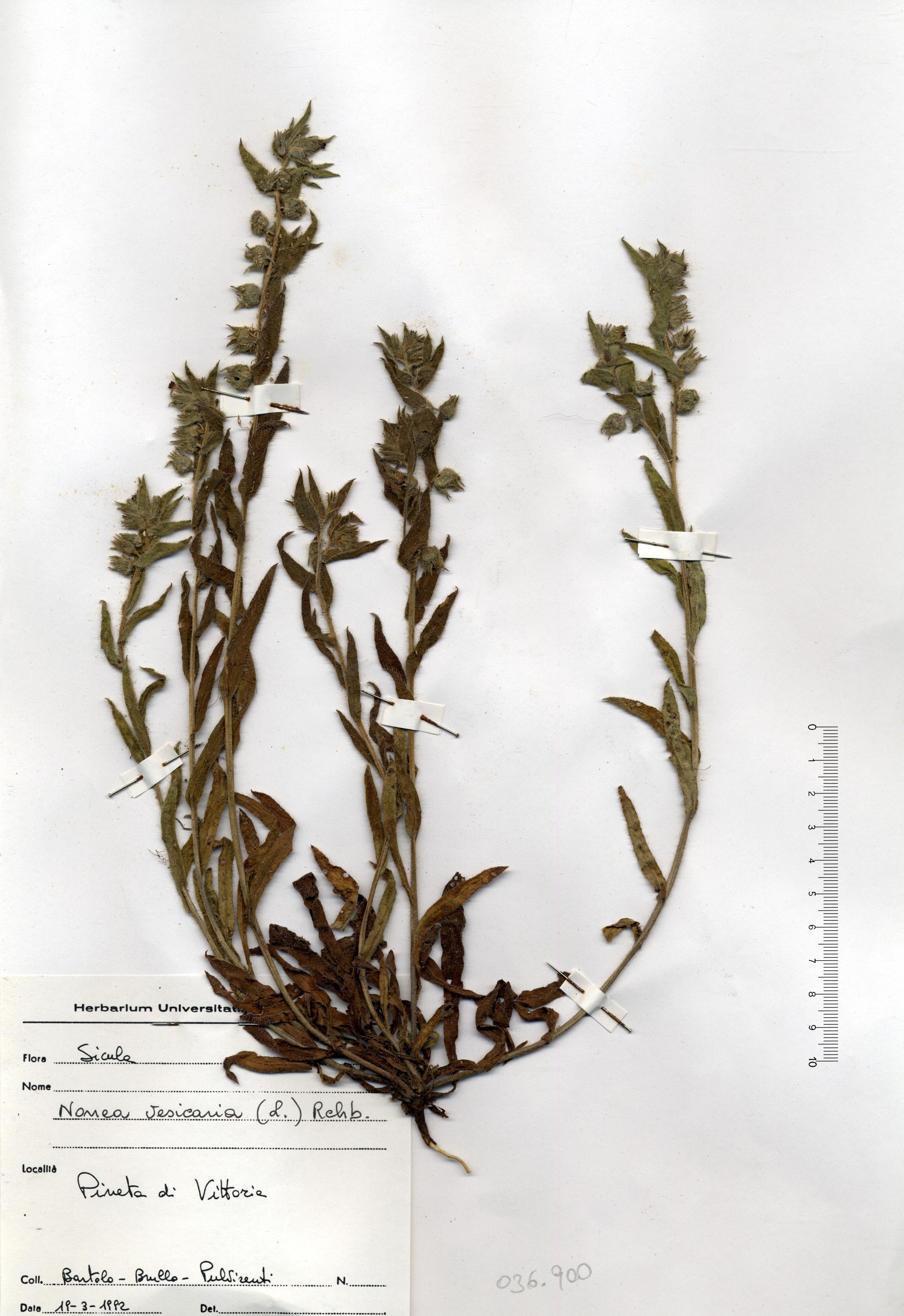 © Hortus Botanicus Catinensis - Herb. Sheet 036900<br>