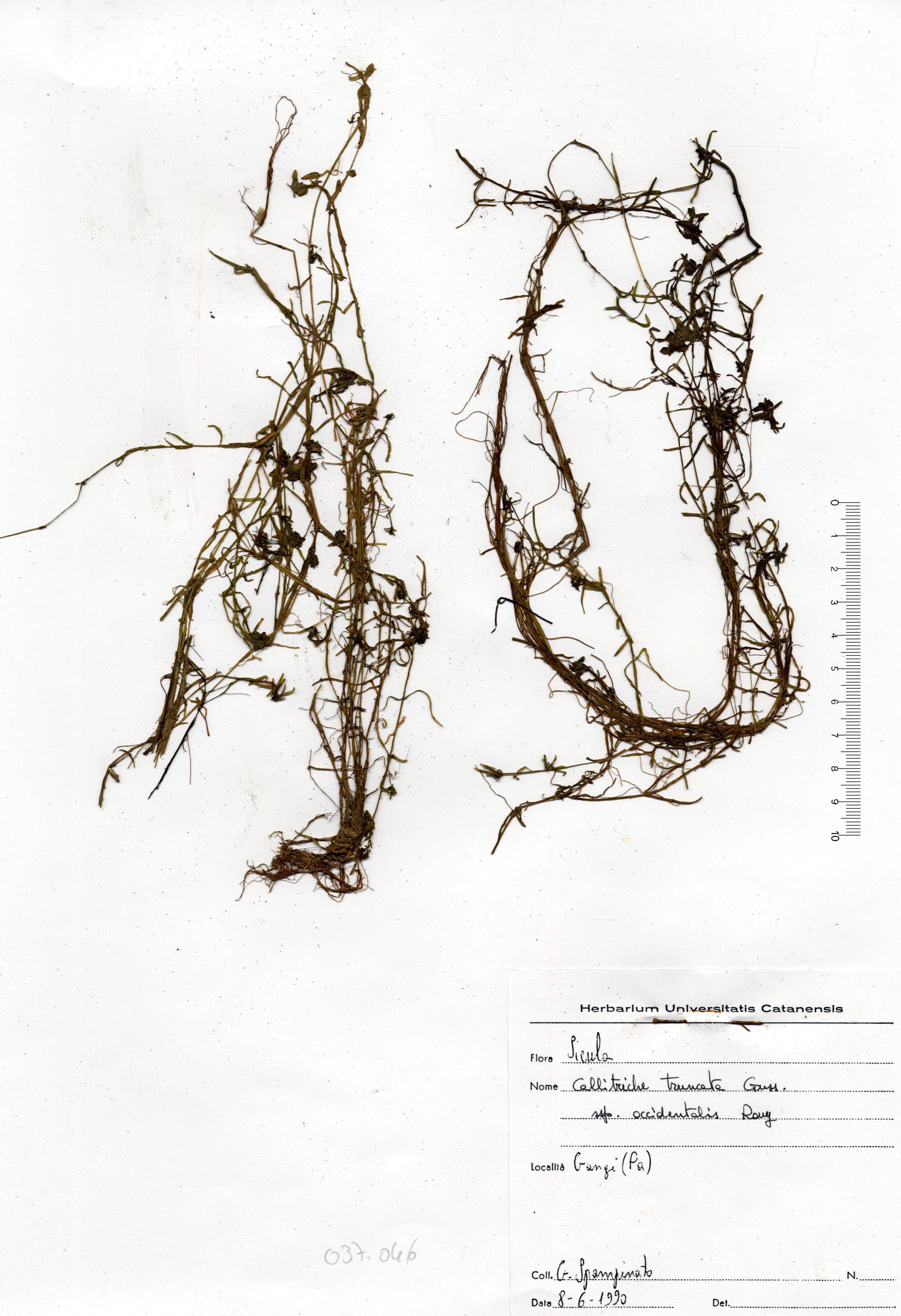 © Hortus Botanicus Catinensis - Herb. Sheet 037046<br>