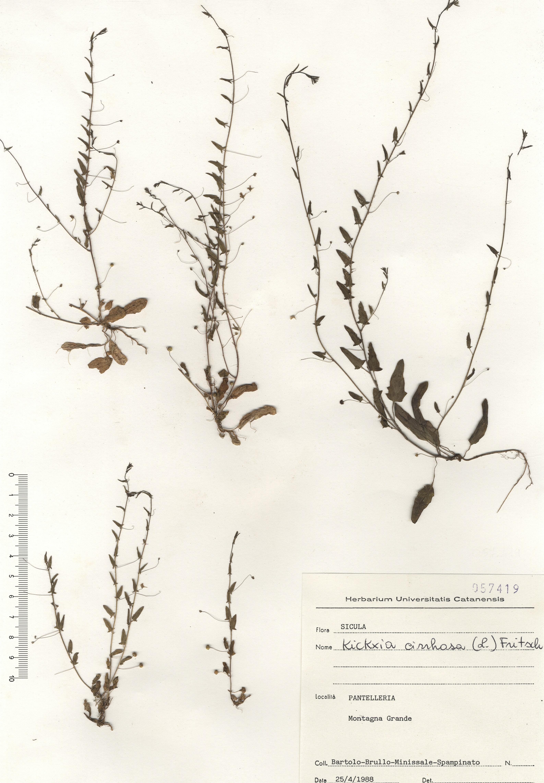 © Hortus Botanicus Catinensis - Herb. Sheet 057419<br>