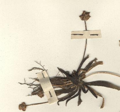 © Hortus Botanicus Catinensis - Herb. Sheet 043190<br>