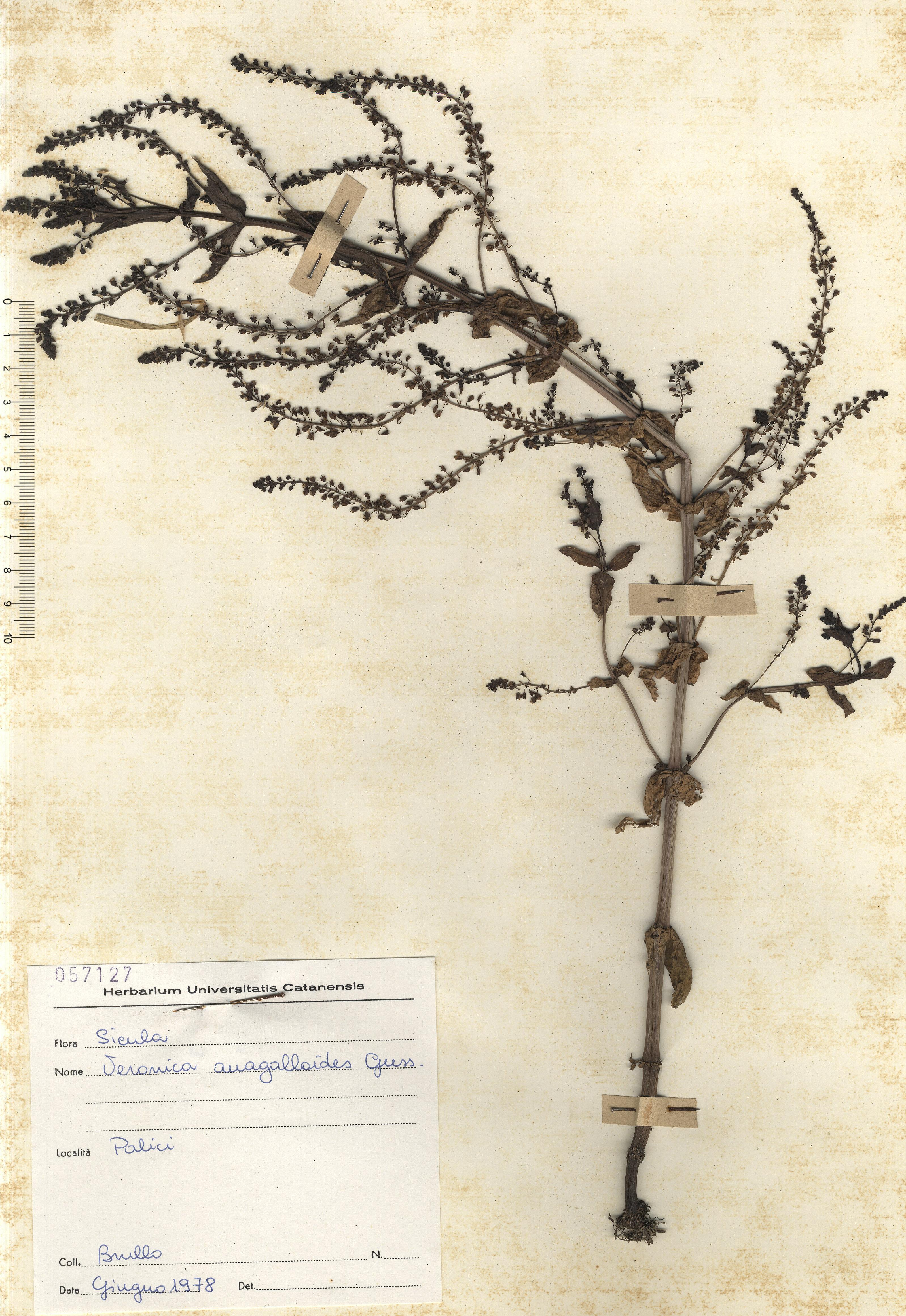© Hortus Botanicus Catinensis - Herb. Sheet 057127<br>