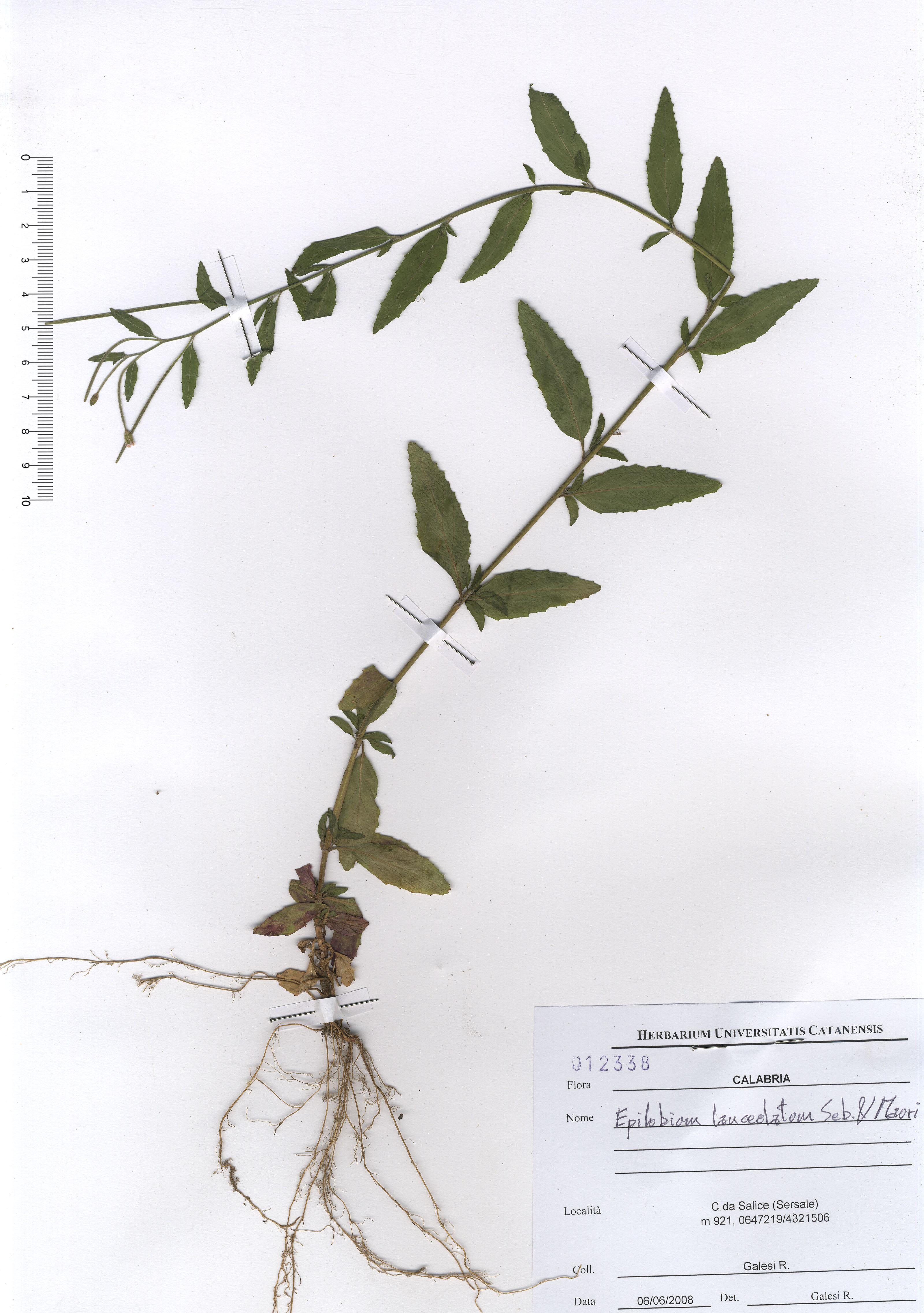 © Hortus Botanicus Catinensis - Herb. sheet 012338<br>