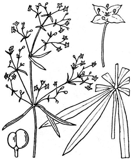 © Hippolyte Coste - Flore descriptive et illustrée de la France, de la Corse et des contrées limitrophes, 1901-1906 - - This image is in public domain because its copyright has expired.<br>