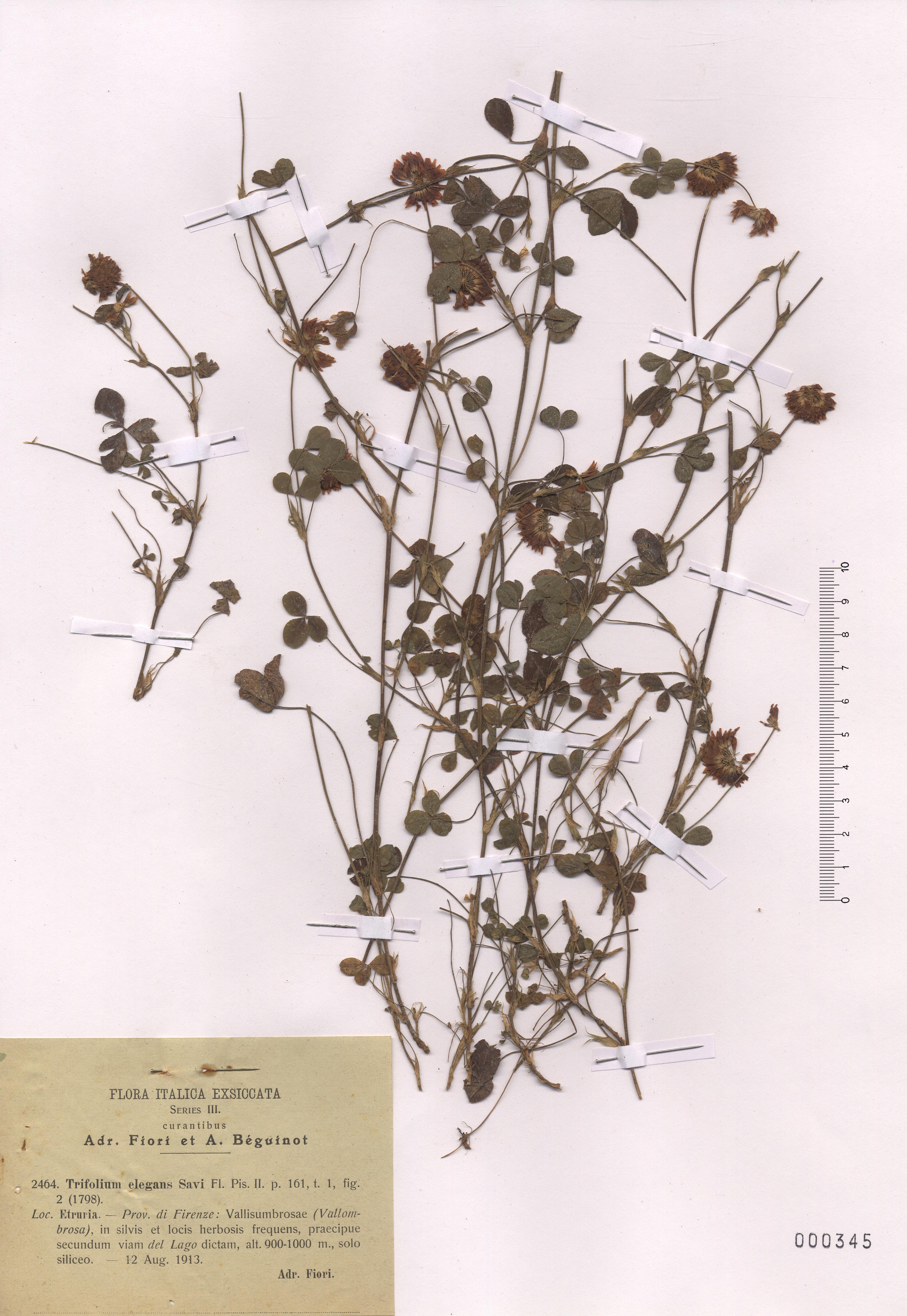 © Hortus Botanicus Catinensis - Herb. sheet 000345<br>