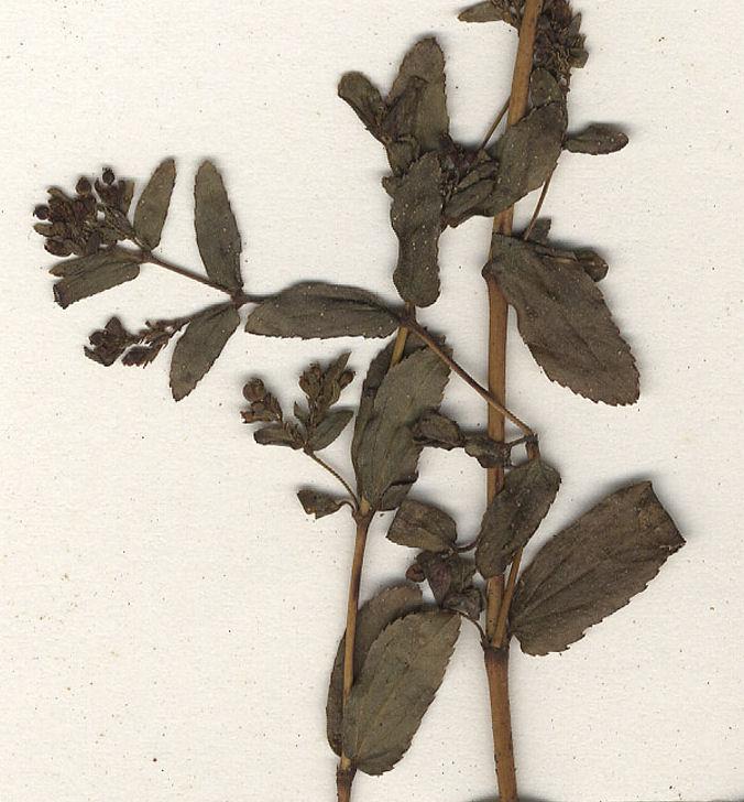 © Hortus Botanicus Catinensis - Herb. sheet 026329<br>