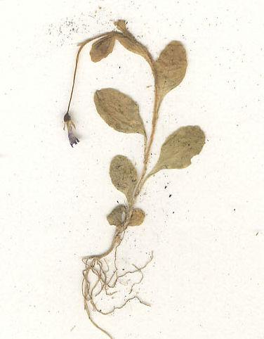 © Hortus Botanicus Catinensis - Herb. sheet 006877<br>