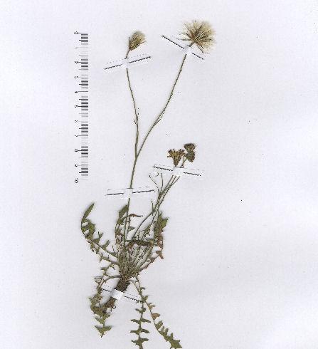 © Hortus Botanicus Catinensis - Herb. sheet 23529<br>