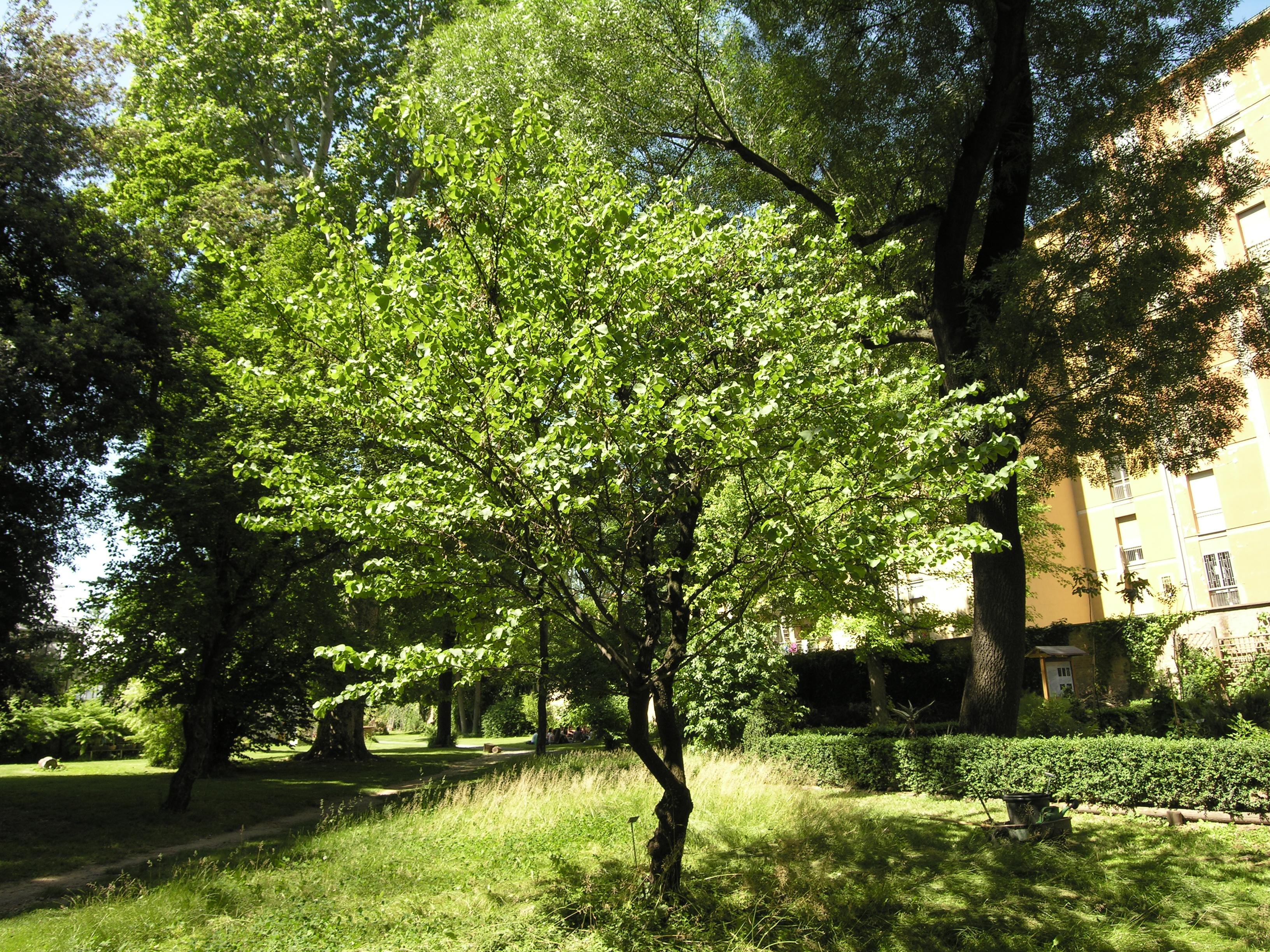© Dipartimento di Scienze della Vita, Università degli Studi di Trieste<br>by Andrea Moro<br>Orto Botanico dell'Università di Bologna, BO, Emilia-Romagna, Italia, 24/05/2010<br>Distributed under CC-BY-SA 4.0 license.