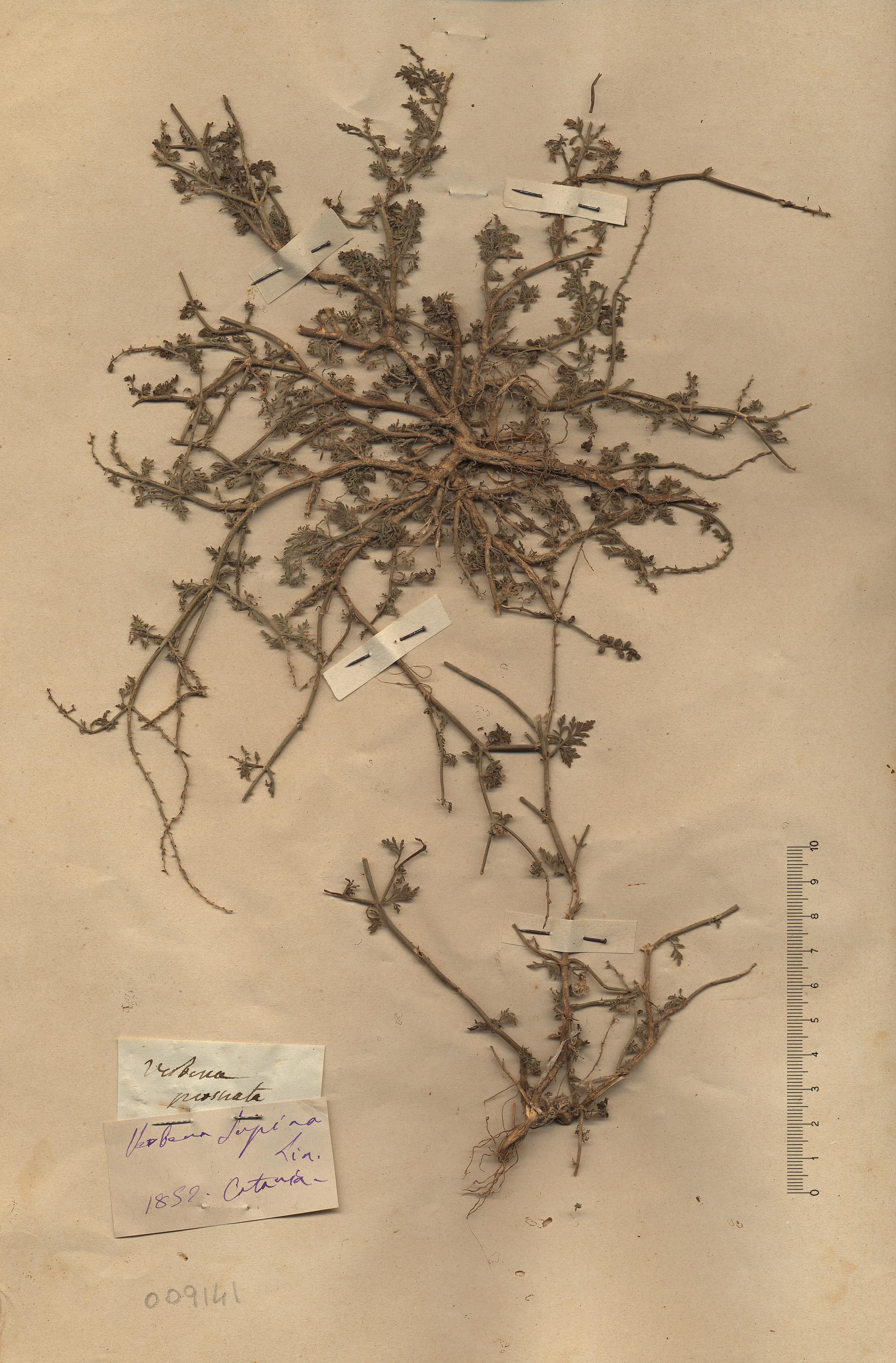 © Hortus Botanicus Catinensis - Herb. sheet 009141<br>