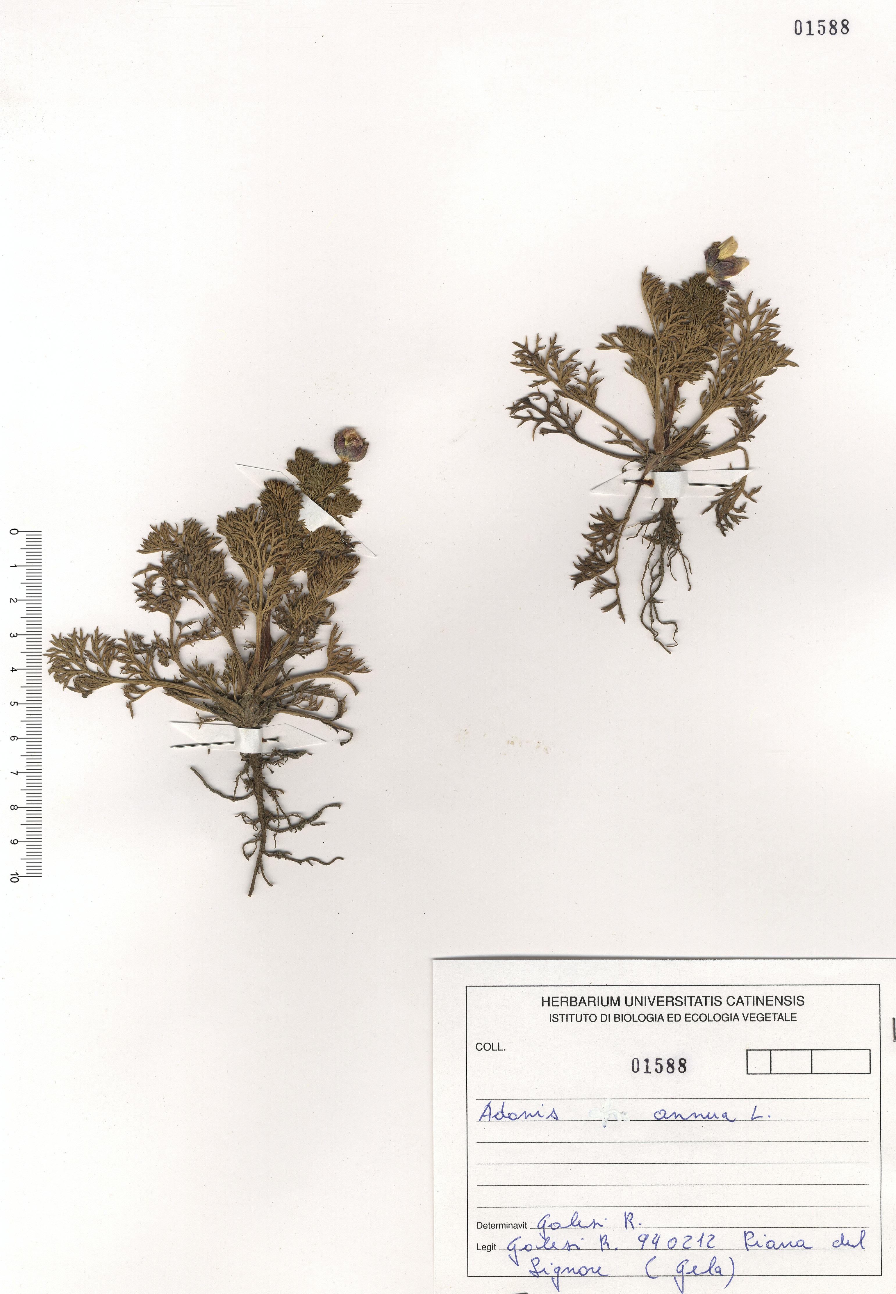 © Hortus Botanicus Catinensis - Herb. sheet 101588<br>